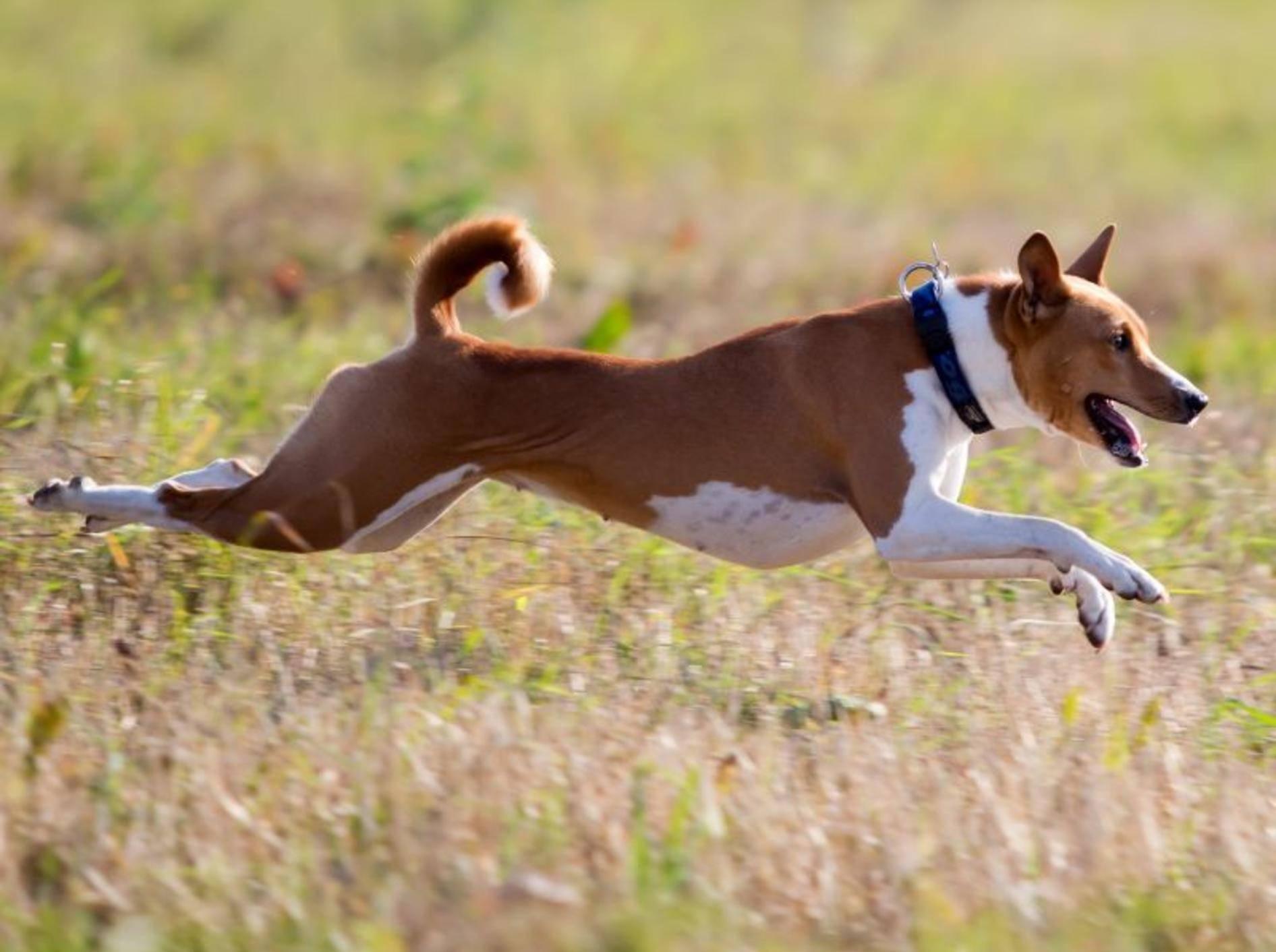 Rennen? Na klar! Schließlich ist der Basenji ein Jagdhund – Bild: Shutterstock / DragoNika