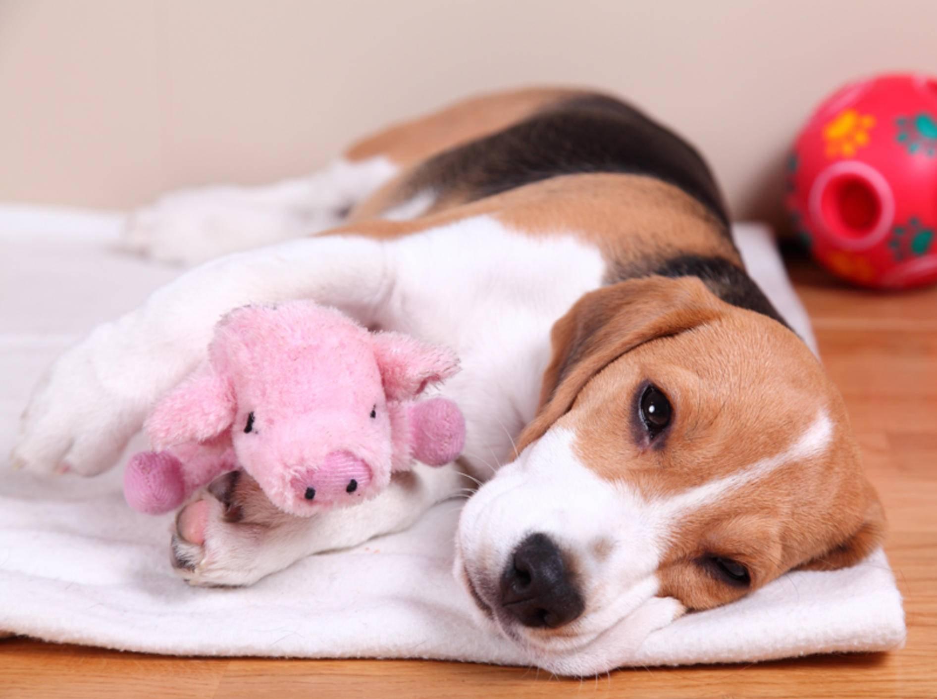 Hundekauf: Haben Sie an alles auf der Checkliste gedacht? – Bild: Shutterstock / Sandra Kemppainen