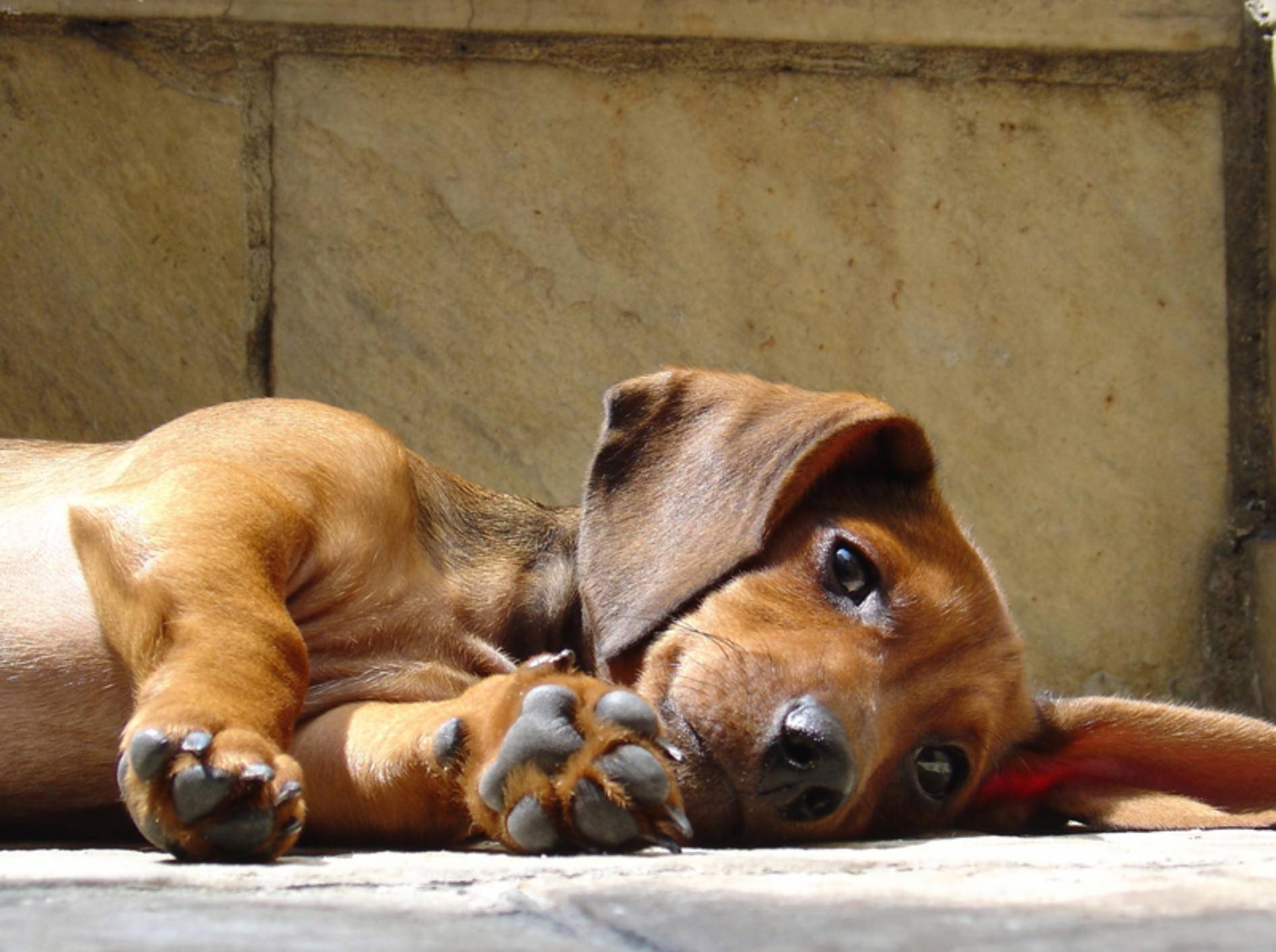 Hunde mit Epilepsie brauchen vor allem viel Ruhe – Bild: Shutterstock / Giancarlo Liguori