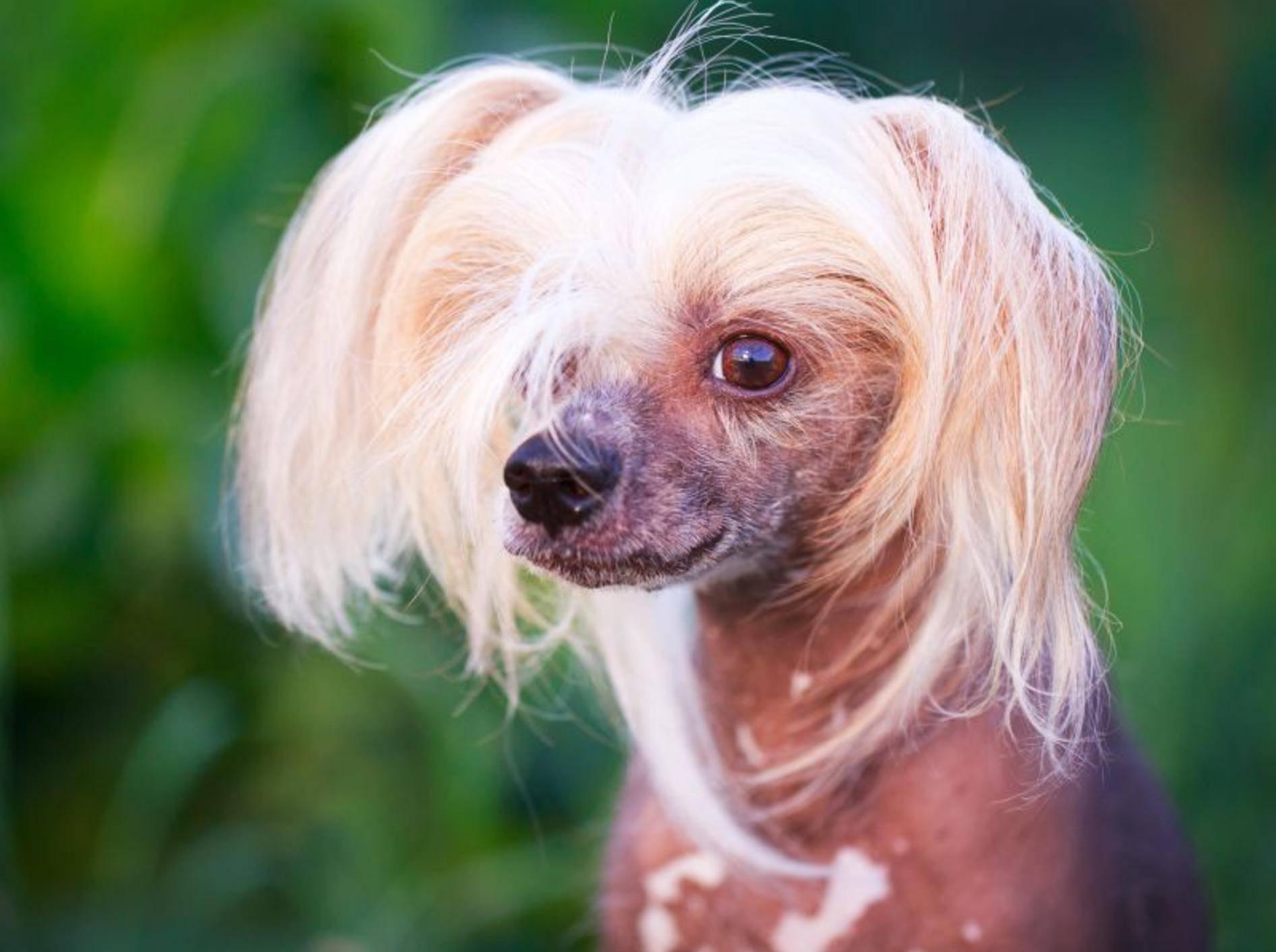 Ein gutmütiger und anhänglicher Hund: Der Chinesische Schopfhund – Bild: Shutterstock / DragoNika