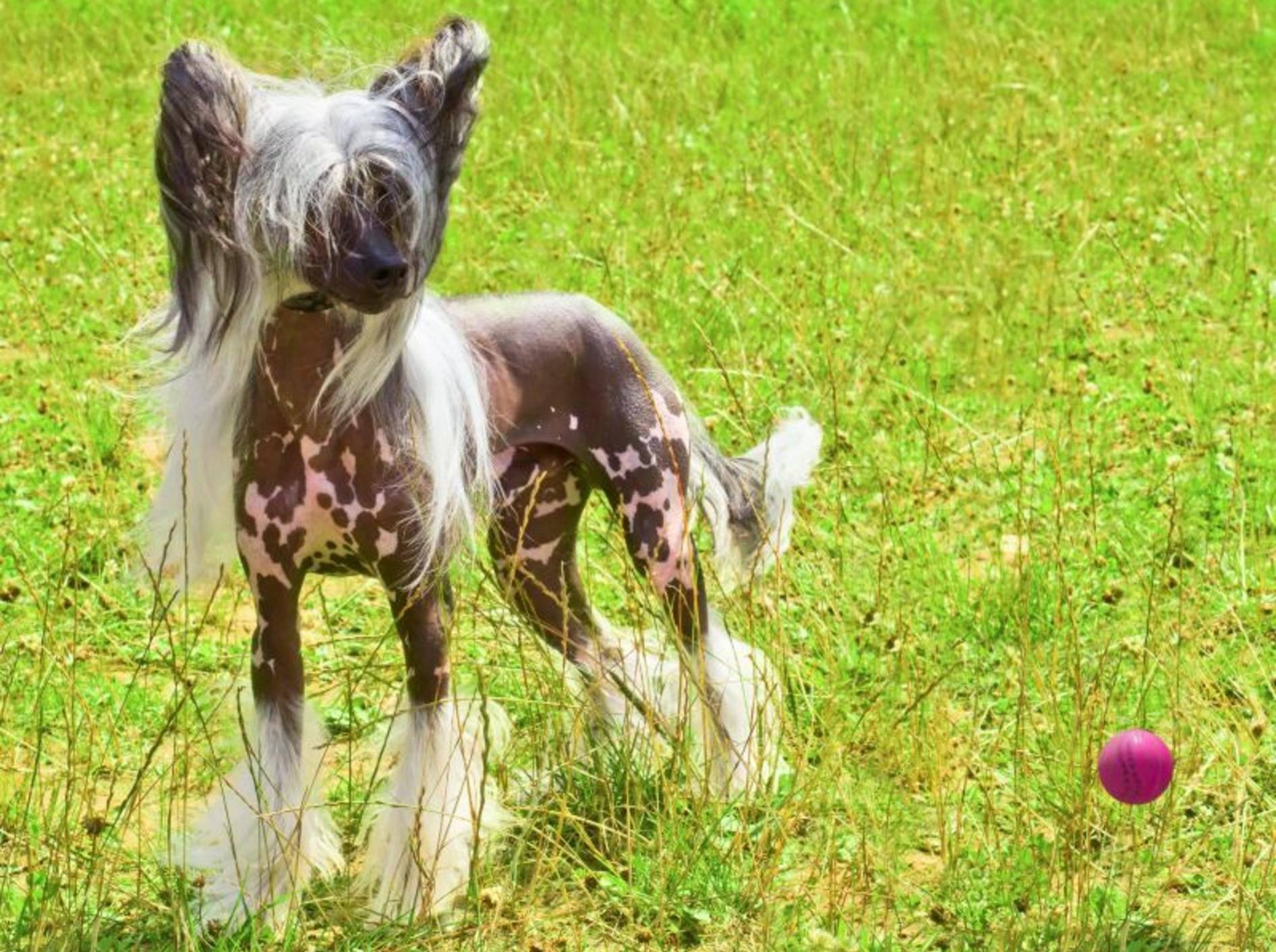 Ganz leicht zu erziehen: Der Chinesische Schopfhund – Bild: Shutterstock / kavalenkava volha