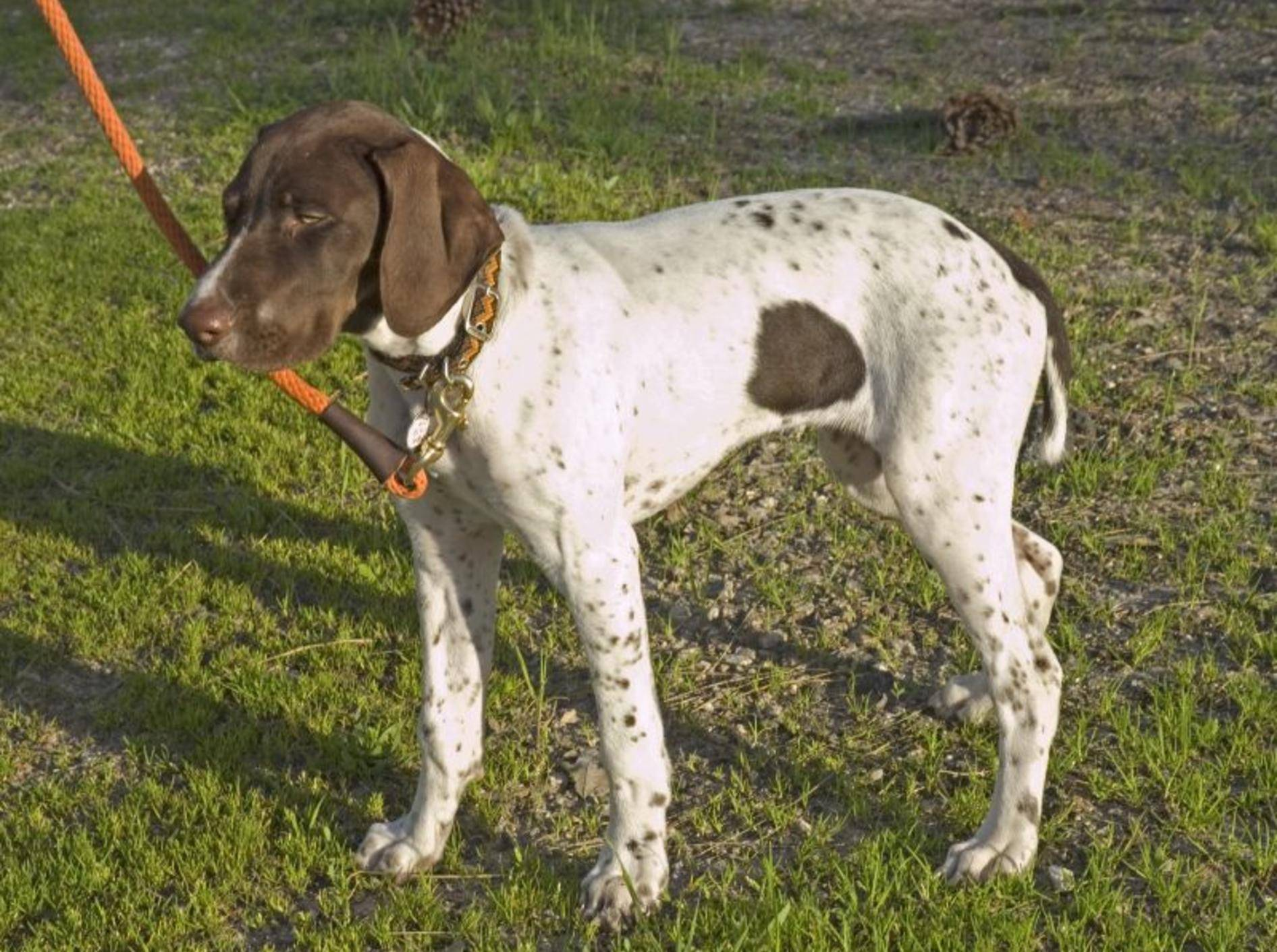 Als Jagdhund ist der English Pointer nicht ganz einfach zu erziehen – Bild: Shutterstock / Jeffrey B. Banke