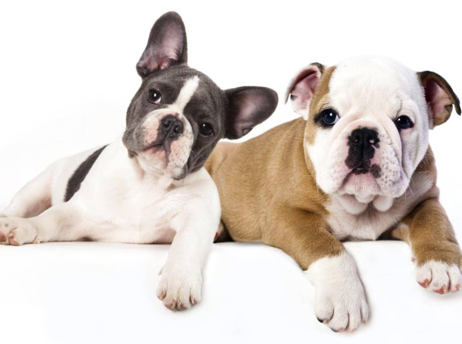 Französische und eine Englische Bulldogge: Na, wer ist wer? – Bild: Shutterstock / Liliya Kulianionak