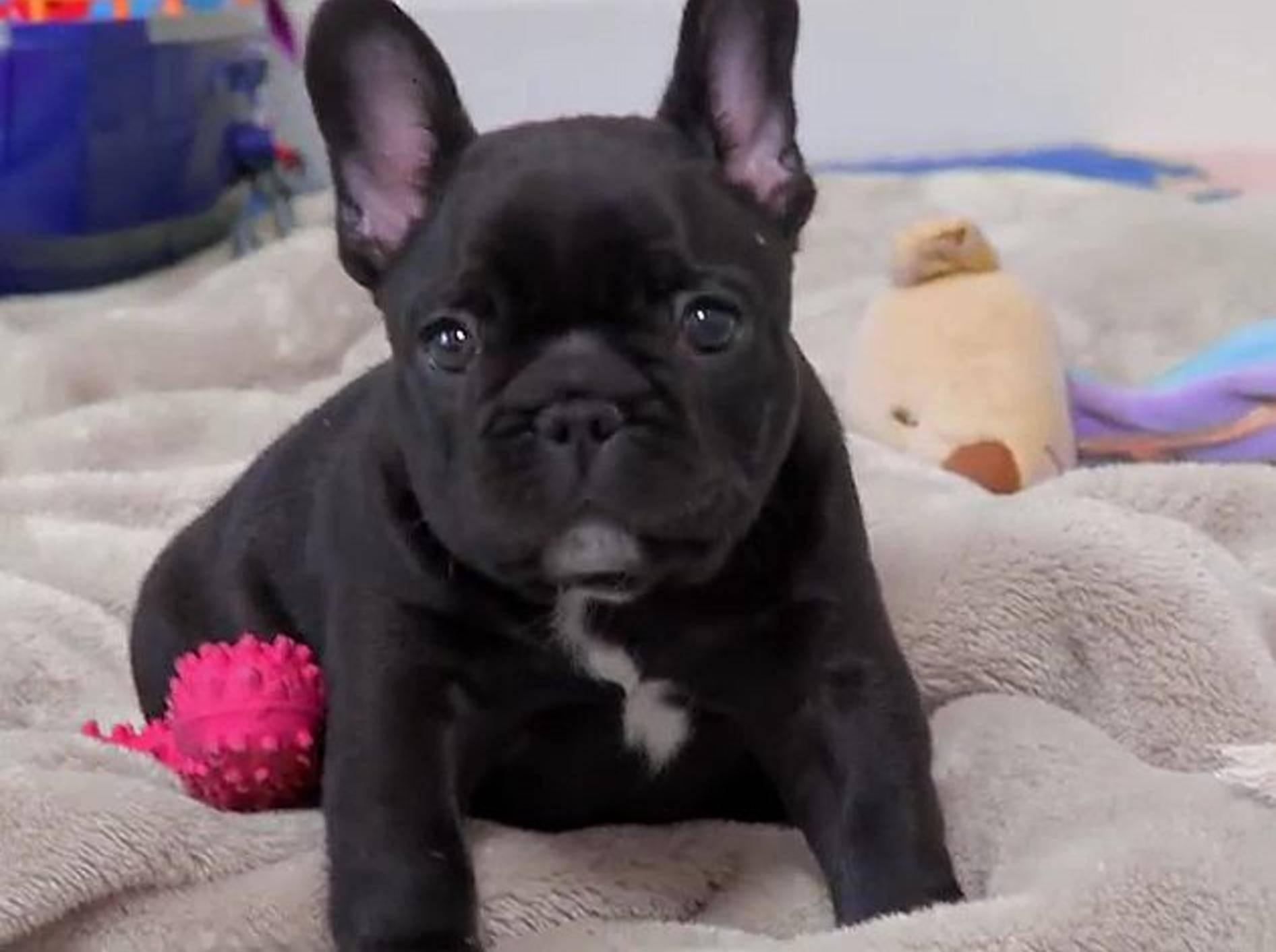 Französische Bulldogge: Süßes kleines Videoportrait – Bild: Youtube / Best Breed Ever