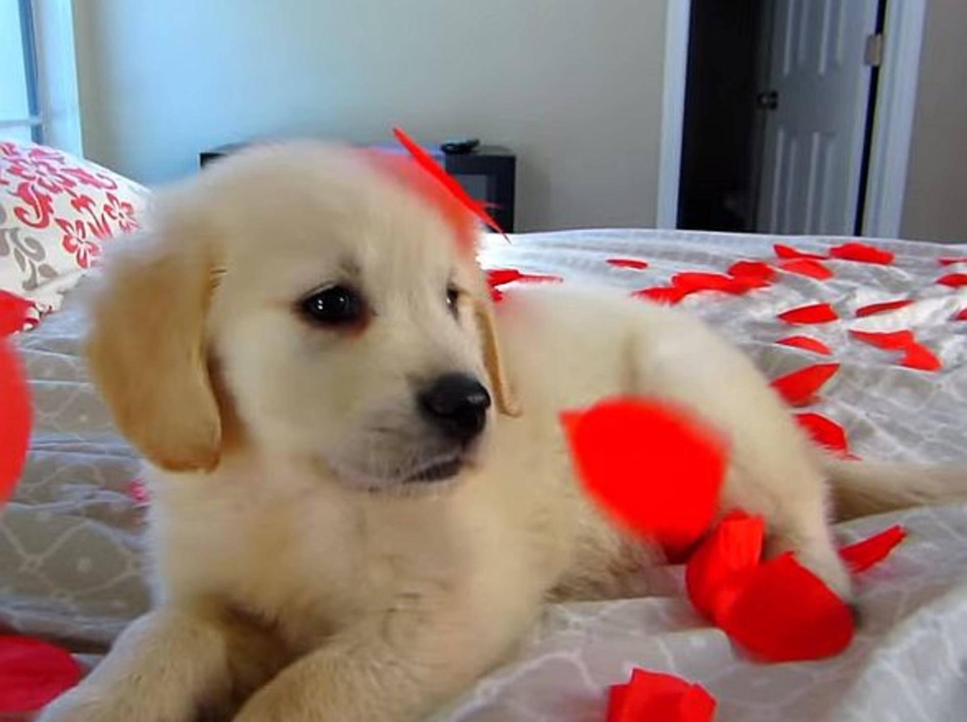 Welpe Cooper erlebt seinen ersten Valentinstag – Bild: Youtube / TmarTn