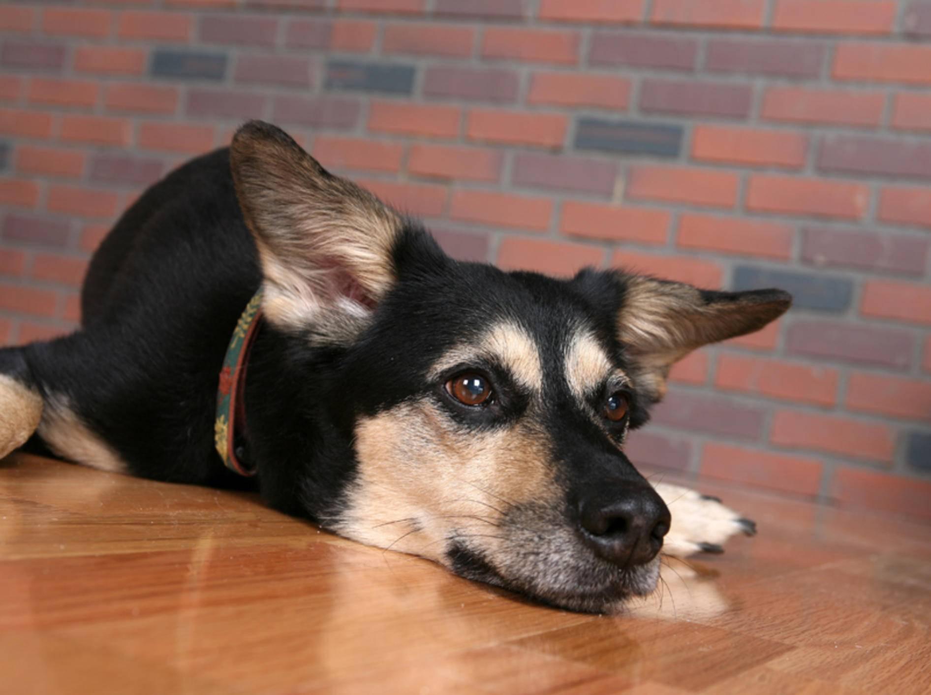 Hunde mit Hüftdysplasie haben Schmerzen – Bild: Shutterstock / Sparkling Moments Photography
