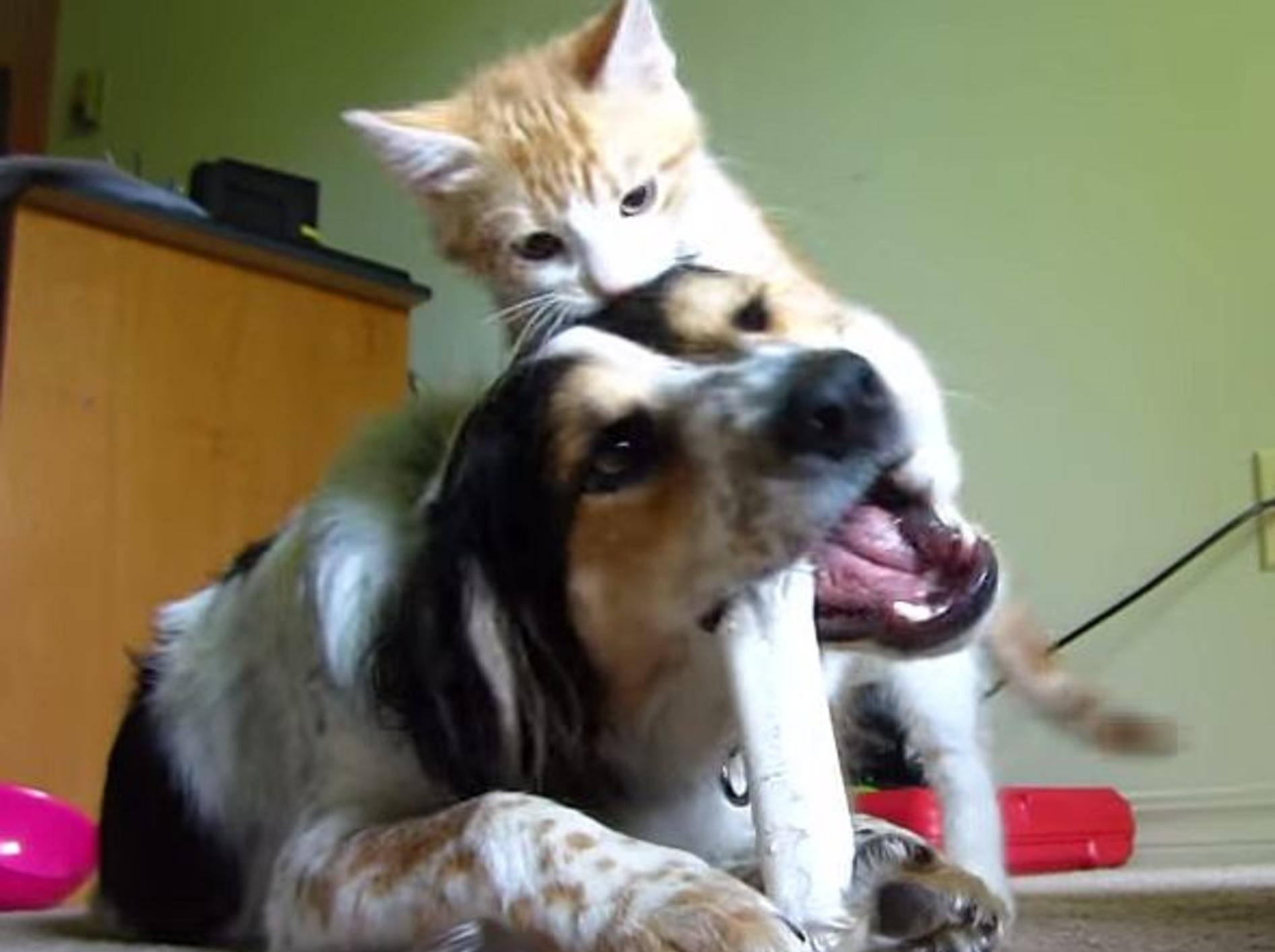 Aufgekratze Katze nervt ihren Hundekumpel – Bild: Youtube / Kevin G