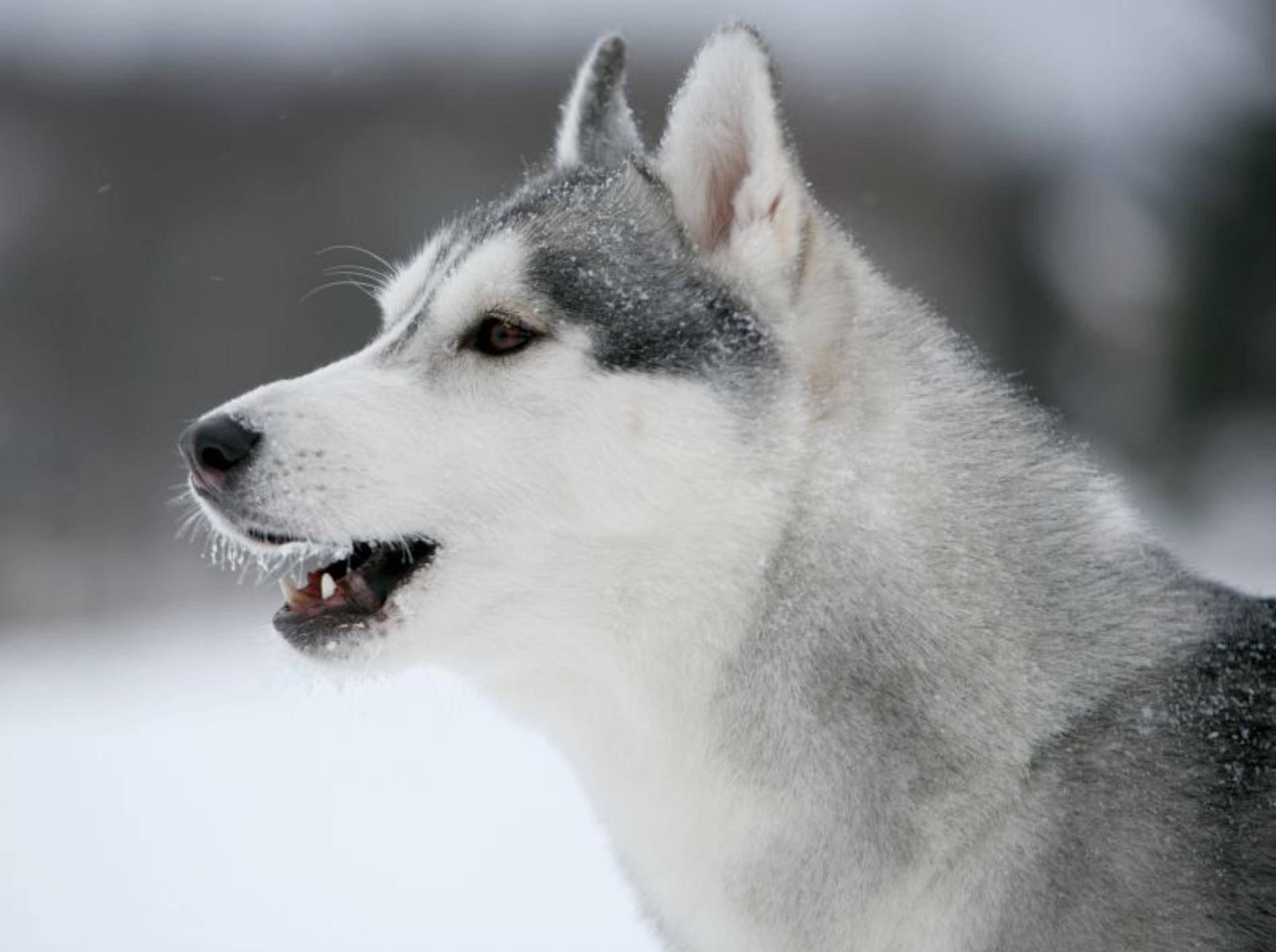 Hustet der Hund ständig? Eine Bronchitis könnte die Ursache sein – Bild: Shutterstock / Svetlana Valoueva