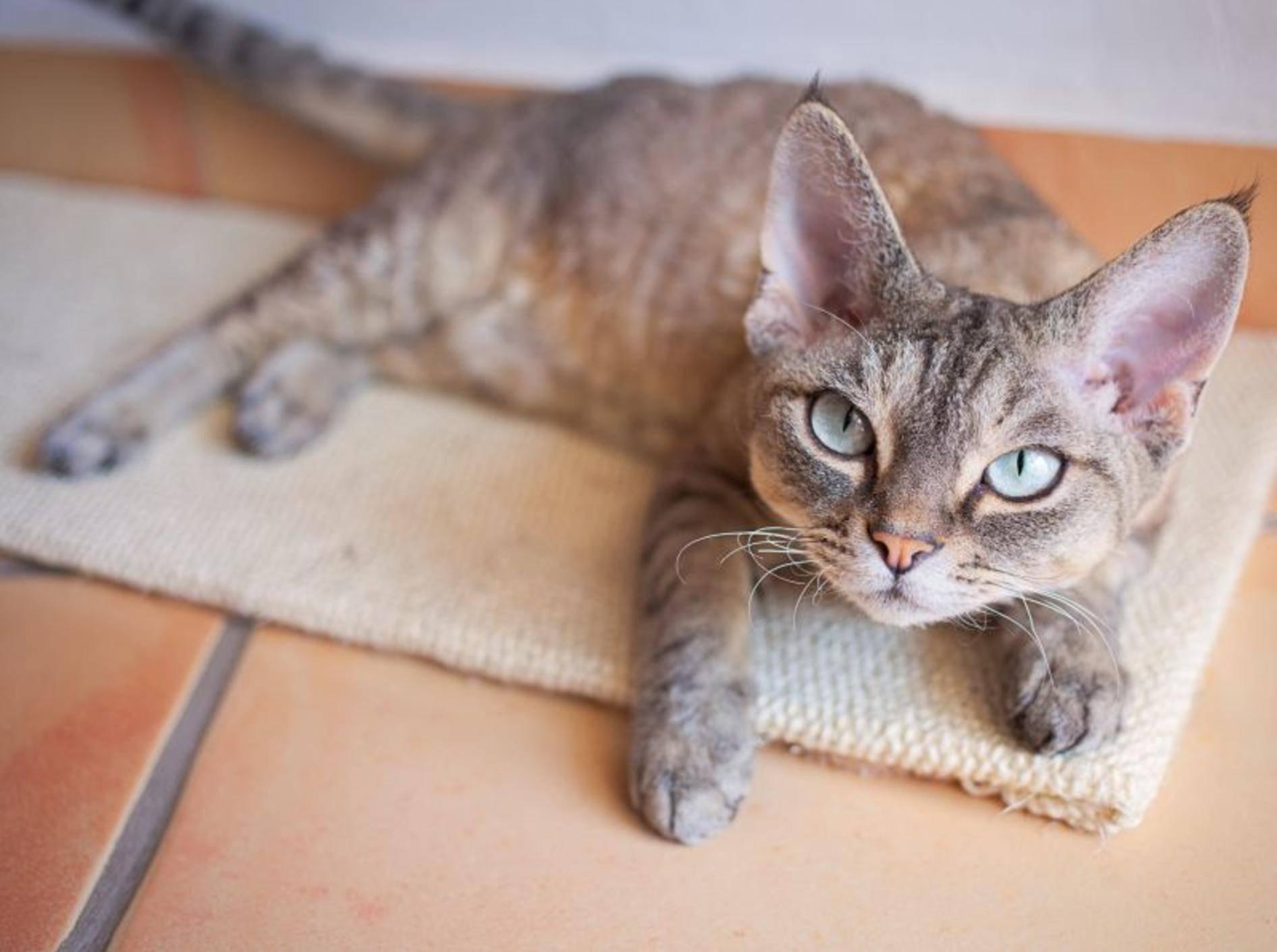 Kratzteppich für Katzen zum Spielen und Krallenwetzen – Bild: Shutterstock / Veera