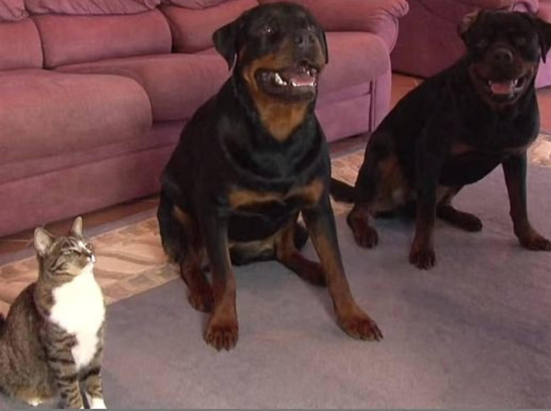 Süße Katze beweist: Nicht nur Hunde lernen Tricks! – Bild: Youtube / CATMANTOO