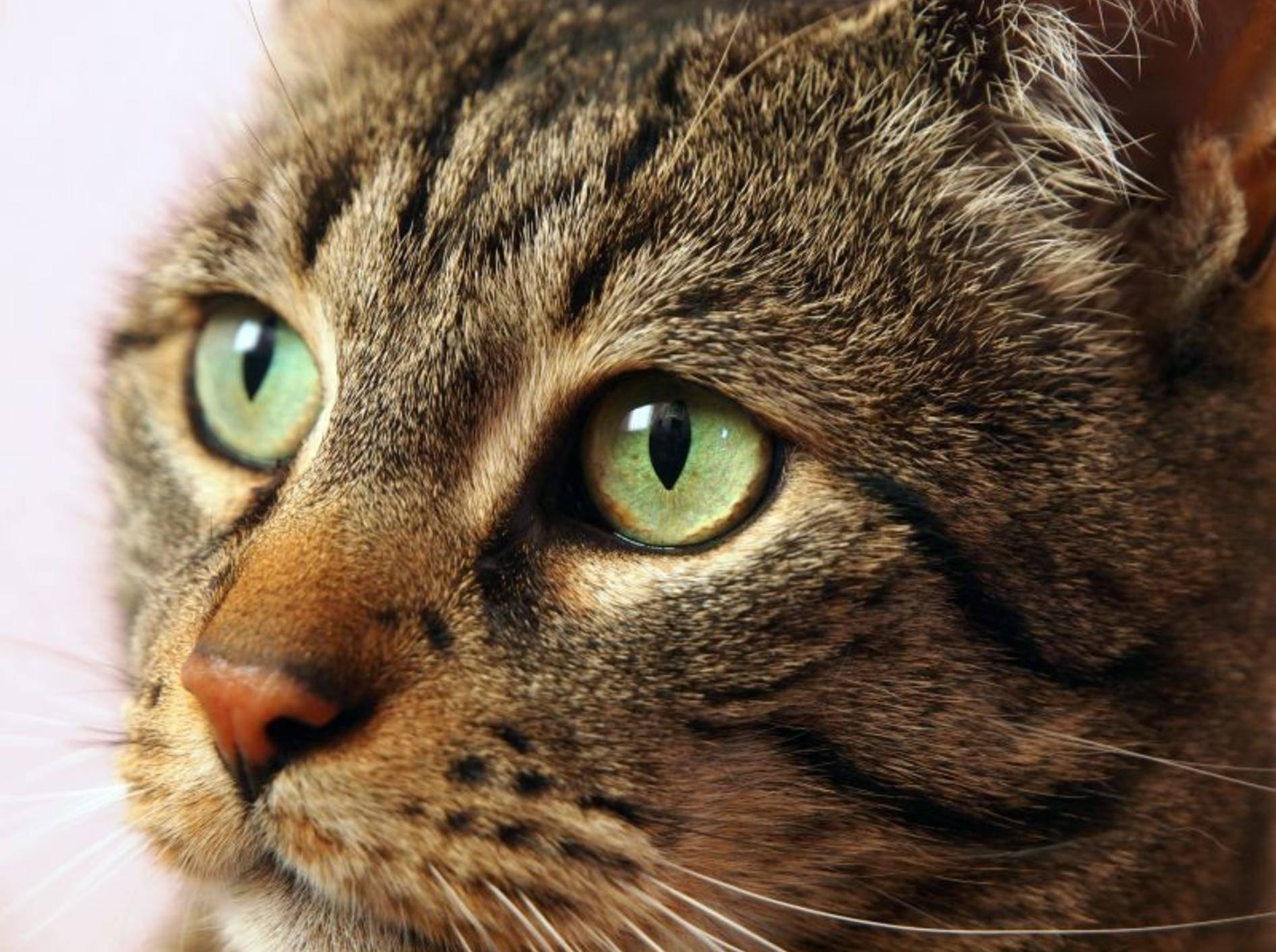 So sehen gesunde Katzenaugen aus – Bild: Shutterstock / Burkhard Trautsch