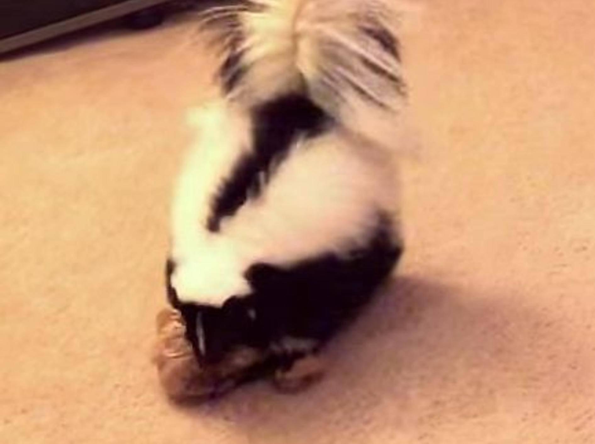 Süßes Skunk außer Rad und Band – Bild: Youtube / Christopher Choate