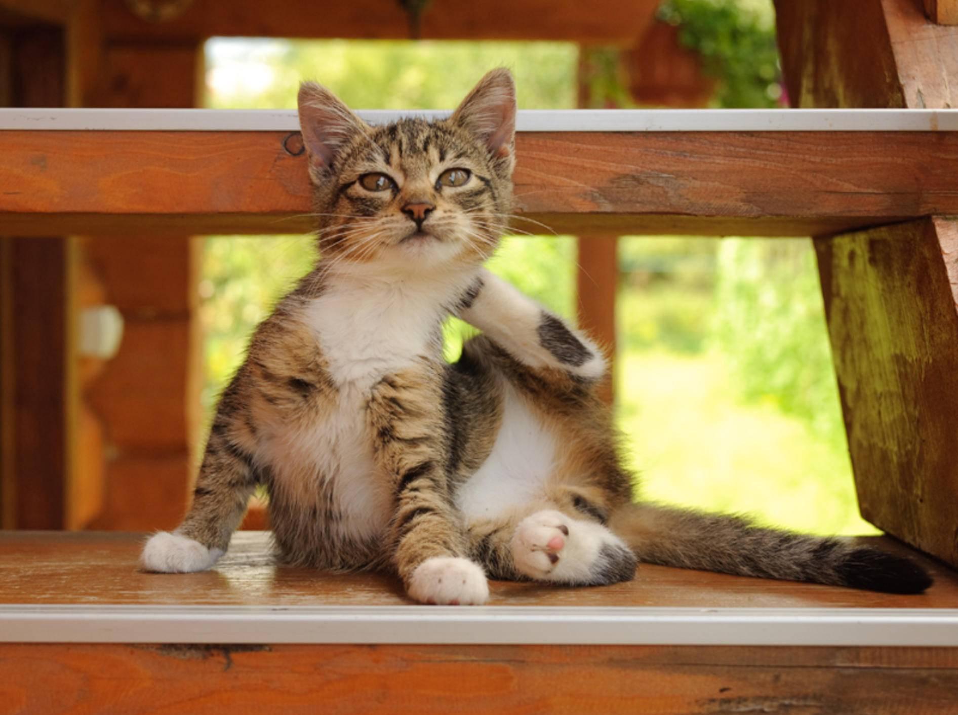 Manche Katzenkrankheiten sind durch Flöhe übertragbar – Bild: Shutterstock / Baishev