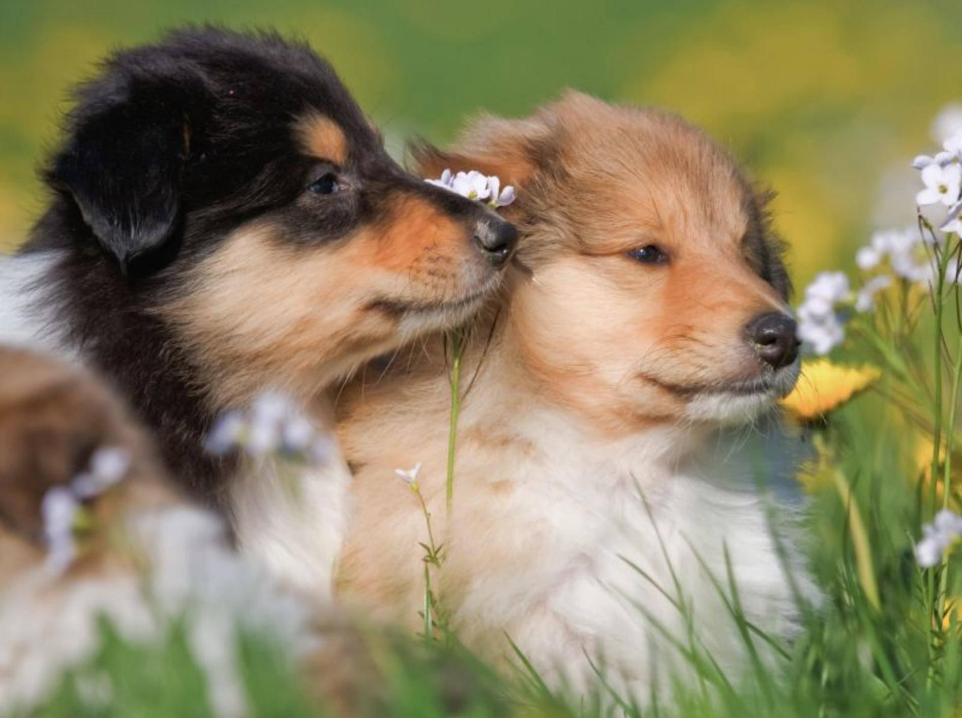 Zwei wollige Collie-Freunde auf der Wiese: Hübsch die Zwei, oder? – Bild: Shutterstock / Christian Mueller