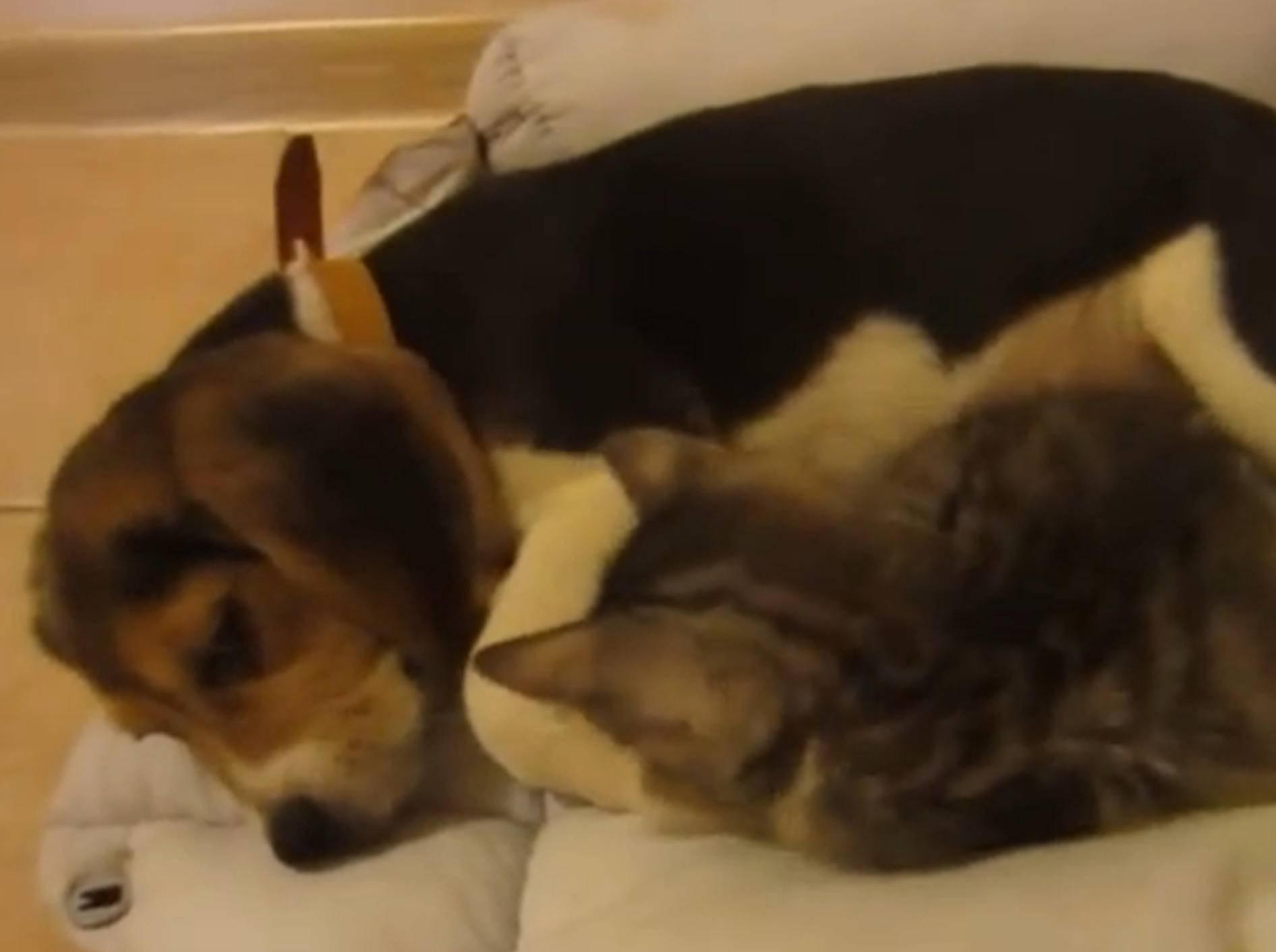 Beagle und Kätzchen: Schmusen oder spielen? – YouTube / Miss Aww