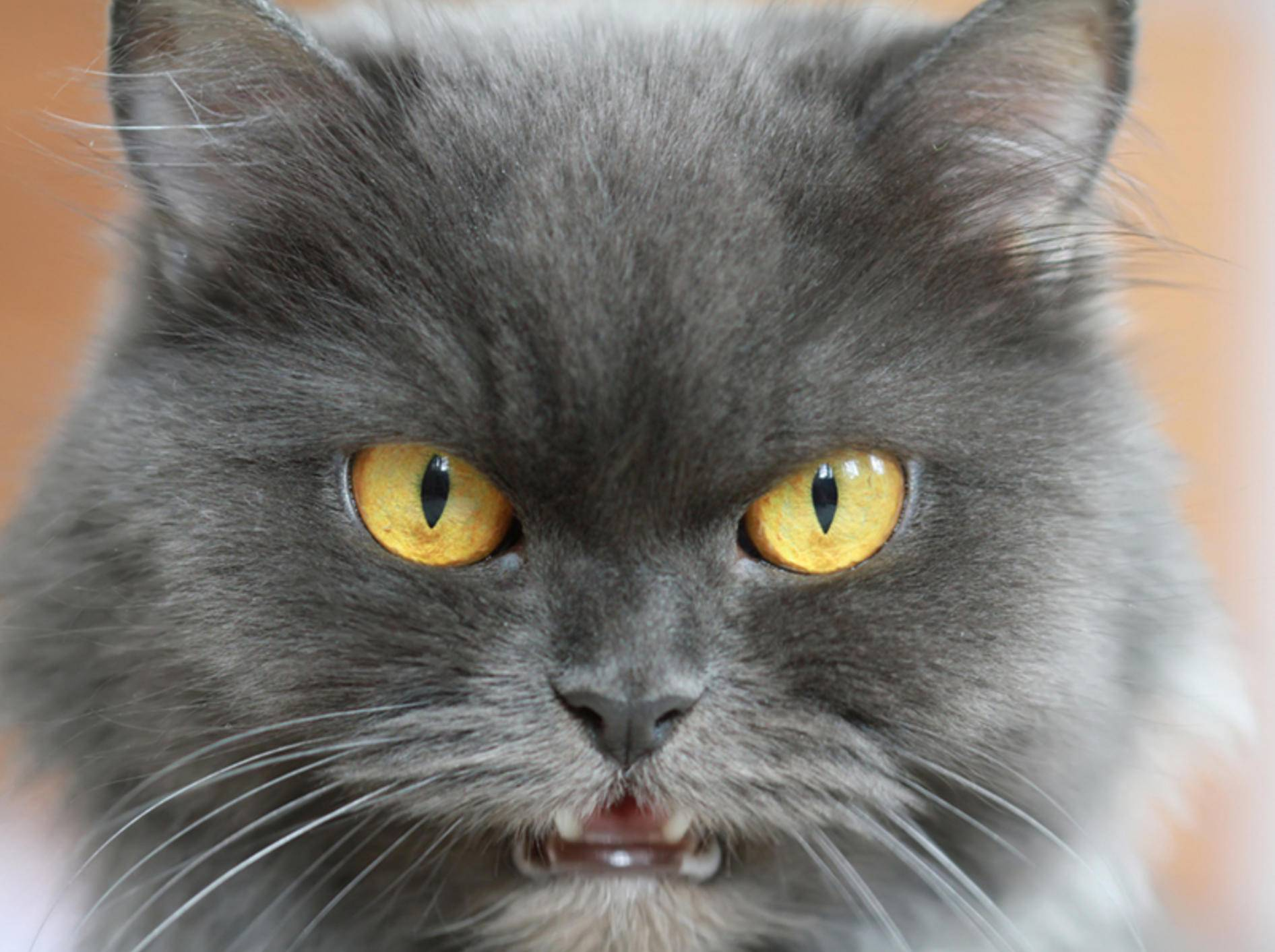 Reagiert die Katze aggressiv auf Menschen ist Vorsicht geboten – Bild: Shutterstock / turlakova