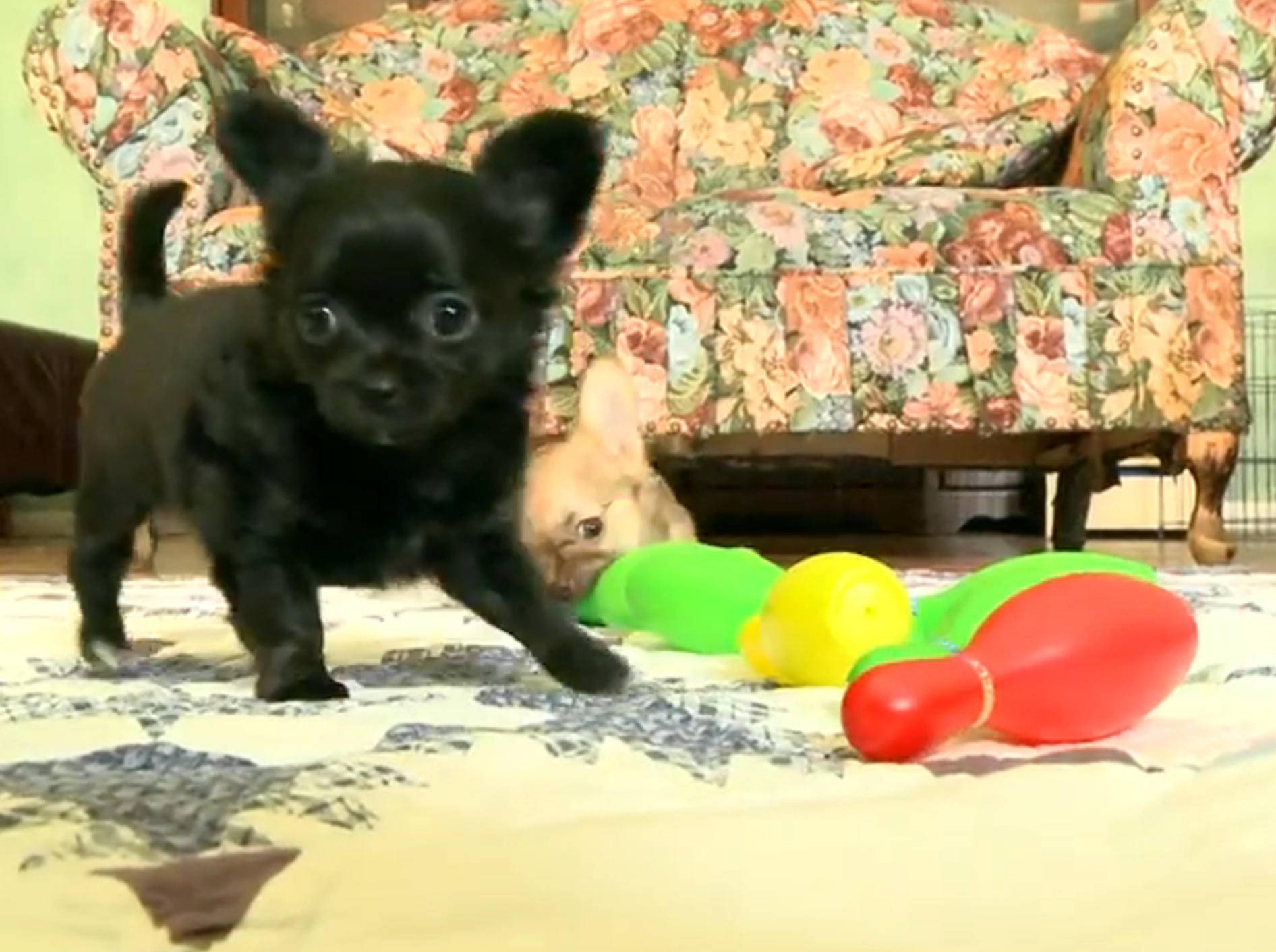 Chihuahua-Welpen als Bowling-Profis? – Bild: YouTube / The Pet Collective