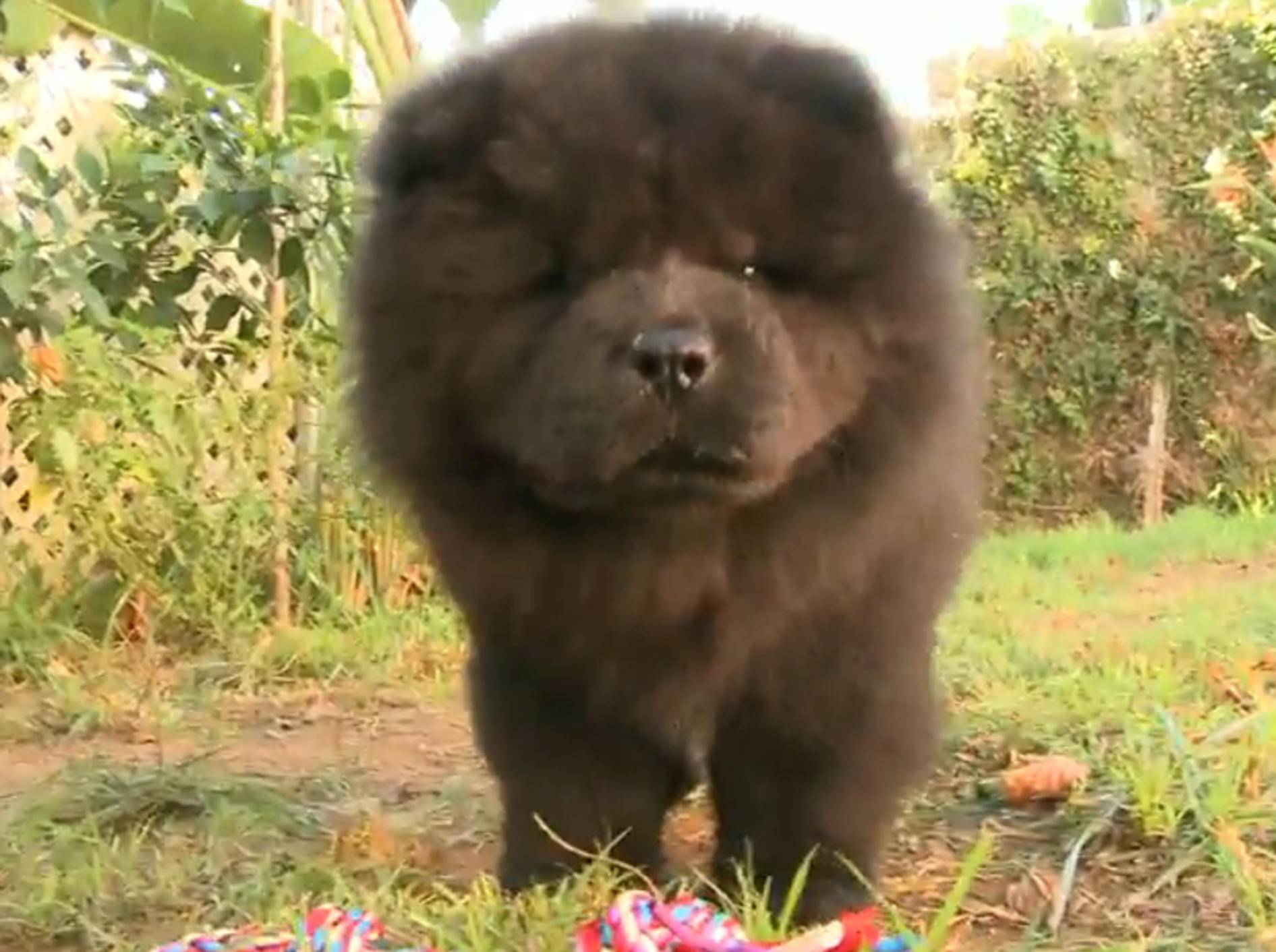Chow-Chow verschmäht Spielzeug – Bild: YouTube / The Pet Collective