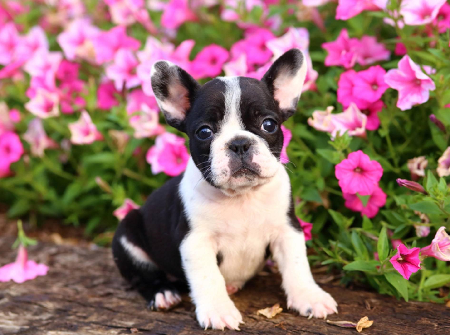 Die Welpen der französischen Bulldogge brauchen viel Pflege – Bild: Shutterstock / JLSnader