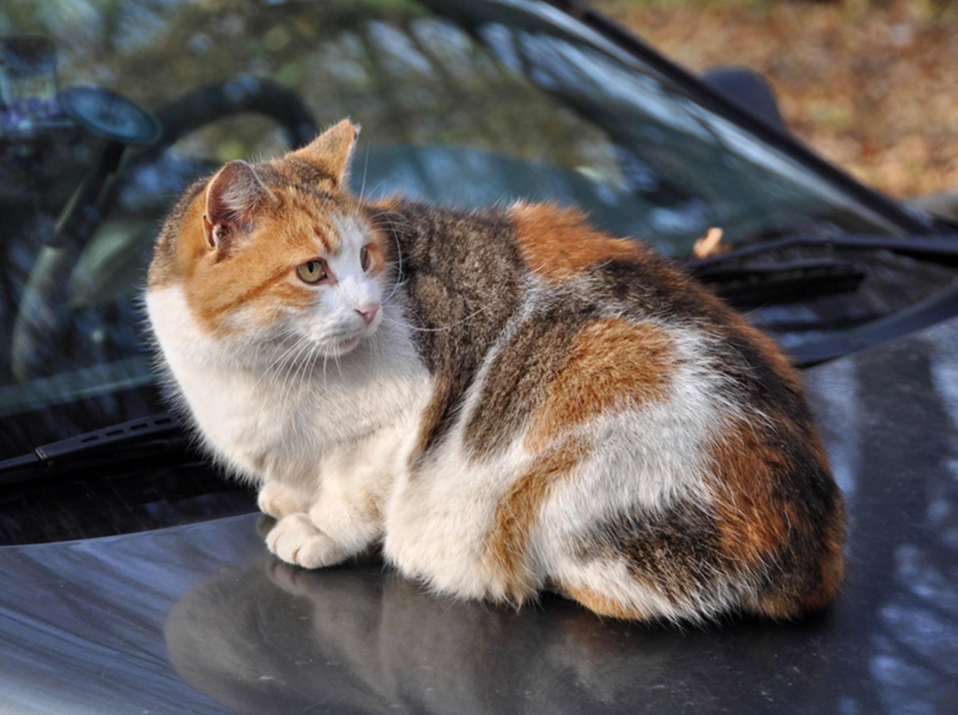 So mancher Katze gefällt das Auto von außen besser als von innen – Bild: Shutterstock / Zanna Holstova