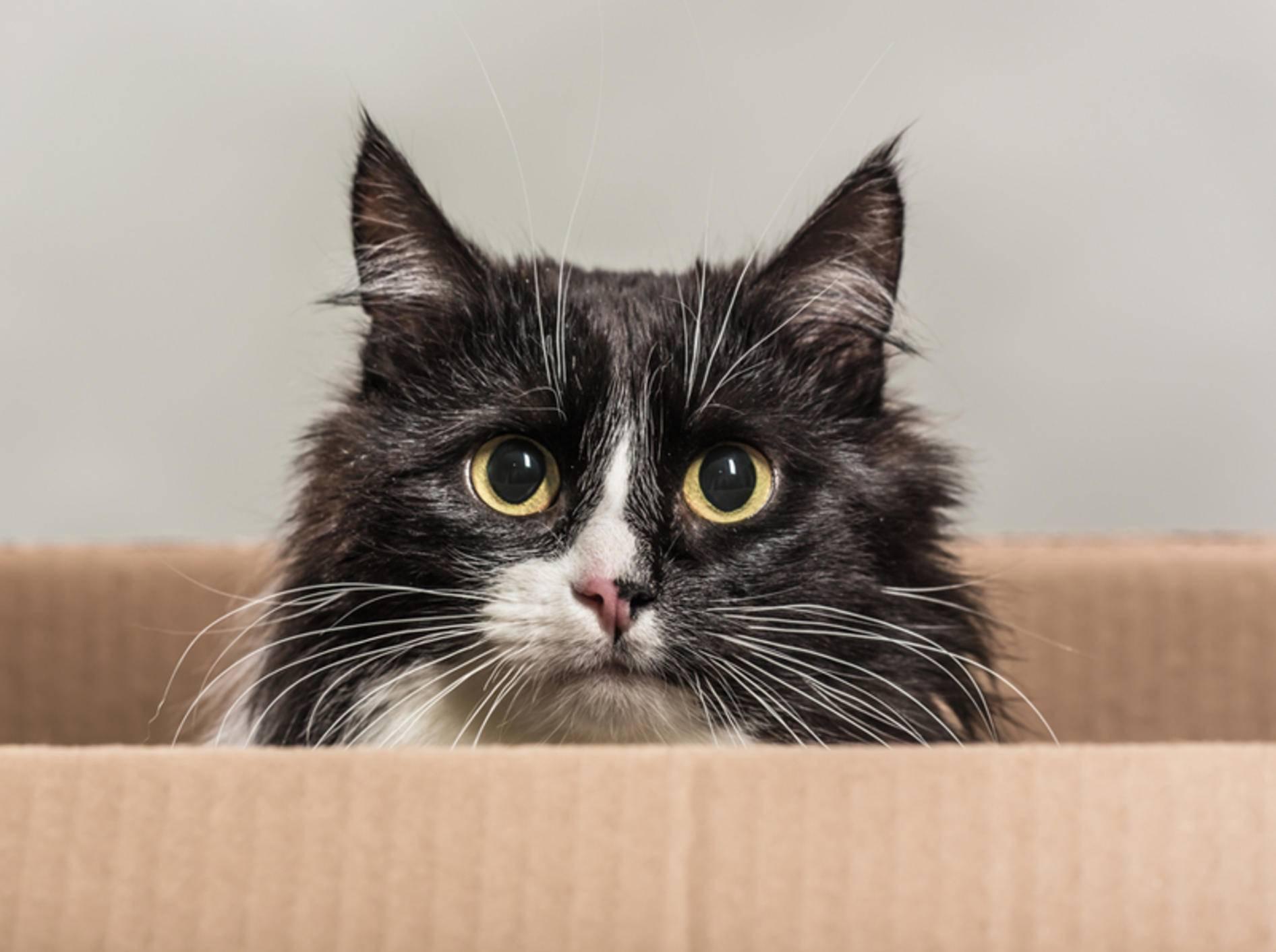 Um eine aggressive Katze einzufangen, brauchen Sie viel Geduld – Bild: Shutterstock / Vikulin