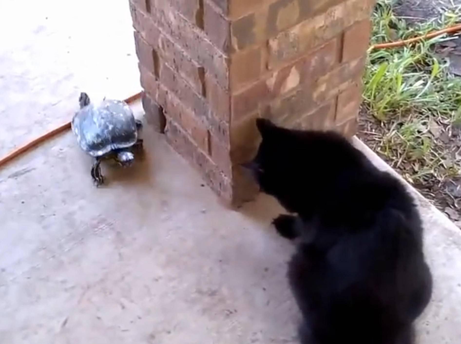 Katze und Schildkröte: Wer jagt hier wen? – Bild: YouTube / Catsss