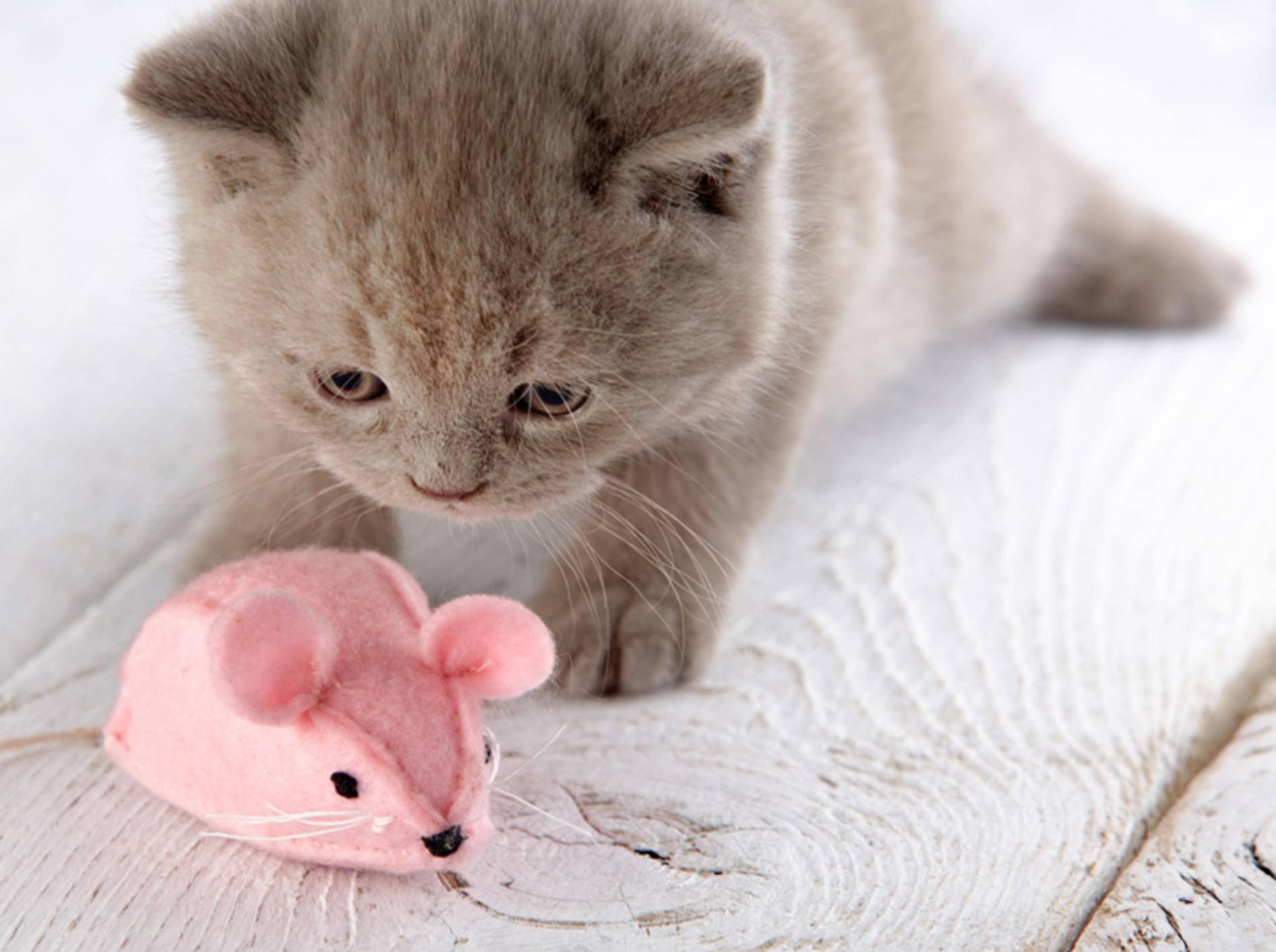 Eine Katze kann lernen, ihr Spielzeug zu apportieren – Bild:n Shutterstockl / MaraZe