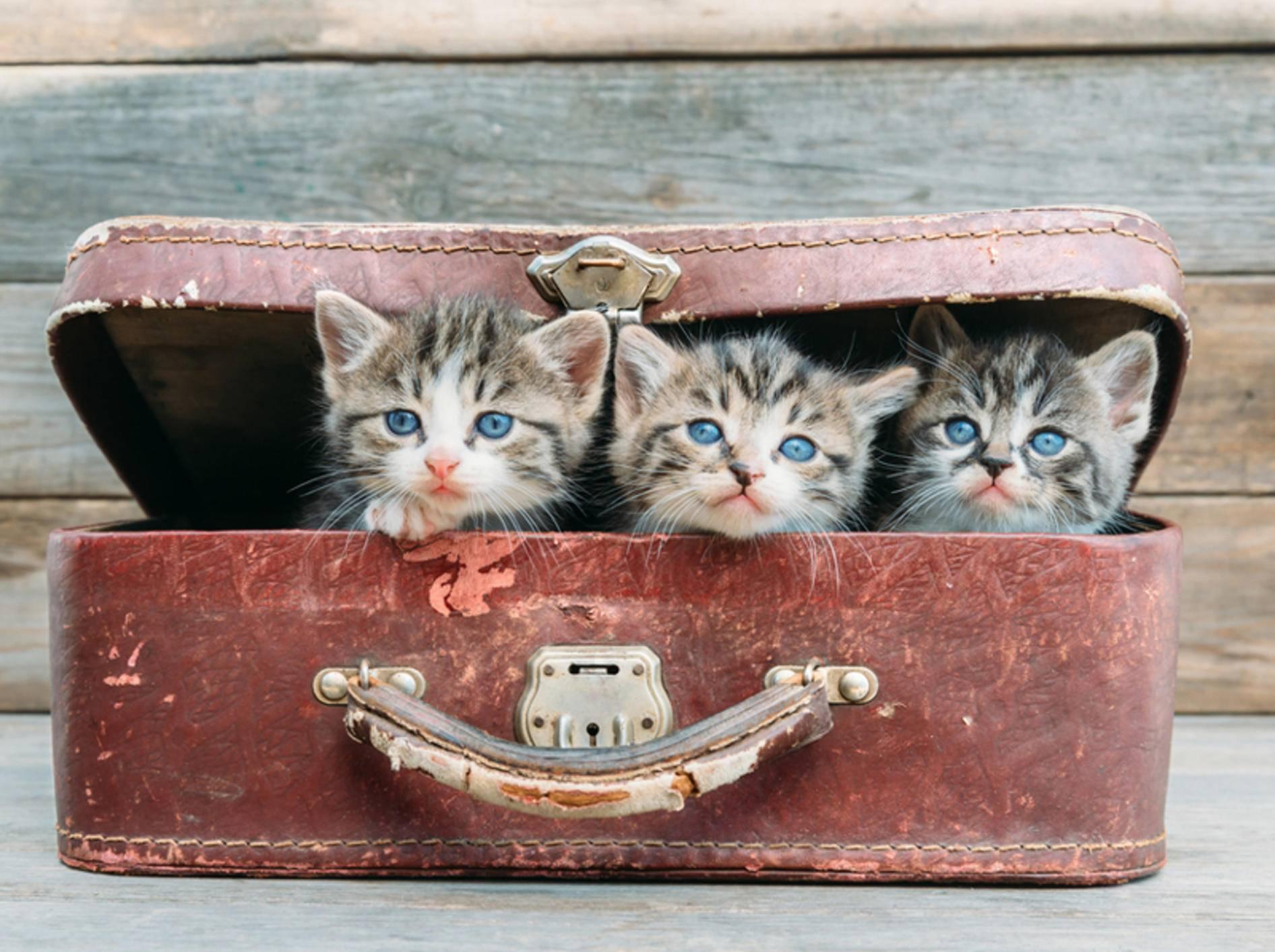 Nicht jede Katze fühlt sich im Urlaub so wohl wie diese Kofferkinder – Bild: Shutterstock / Poprotskiy Alexey