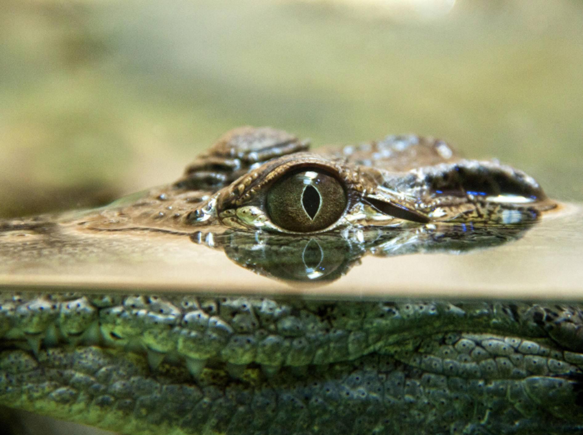 Der Blick eines Krokodils kann sehr eindringlich sein – Bild: Shutterstock / Oded Ben-Raphael