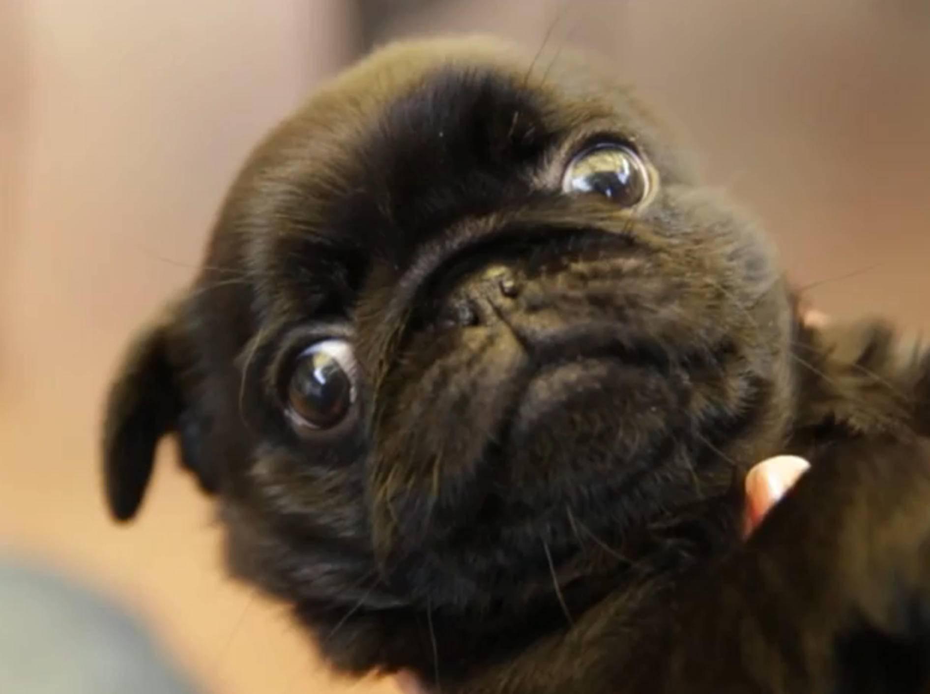 Mops-Compilation: Soooo süße Hundewelpen – Bild: YouTube / The Pet Collective