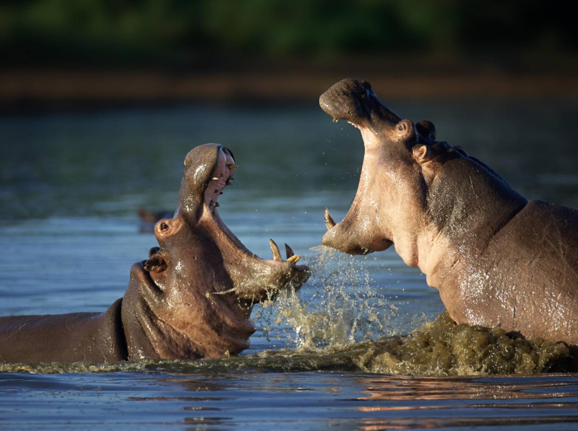 Nilpferde sind beeindruckende Säugetiere, über die es einiges Interessantes zu wissen gibt – Bild: Shutterstock / Johan Swanepoel