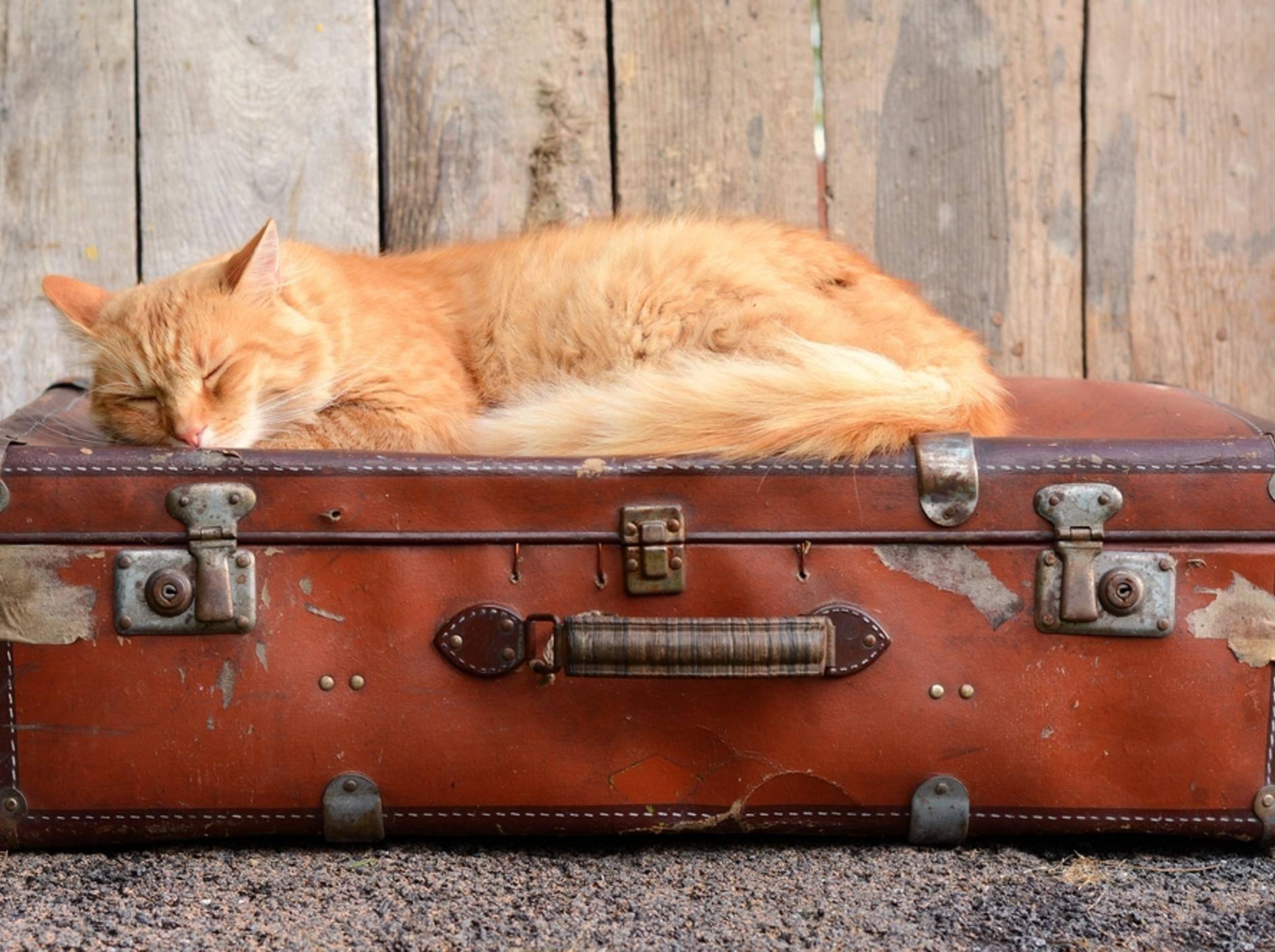 Nicht jede Katze ist im Urlaub so entspannt – Bild: Shutterstock / DavidTB