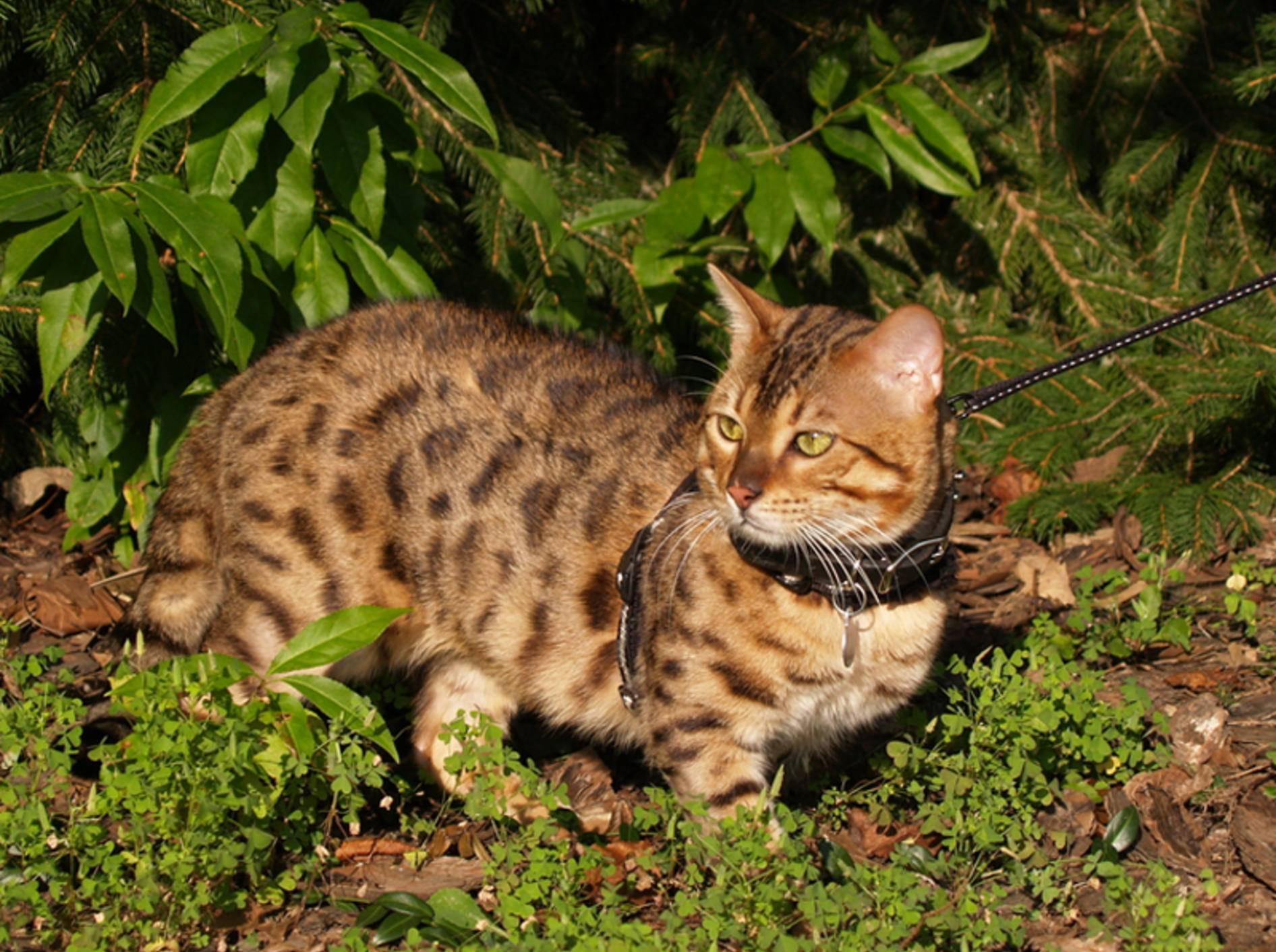 Für die schöne Savannah muss man tief in die Tasche greifen – Bild: Shutterstock / Lindasj22