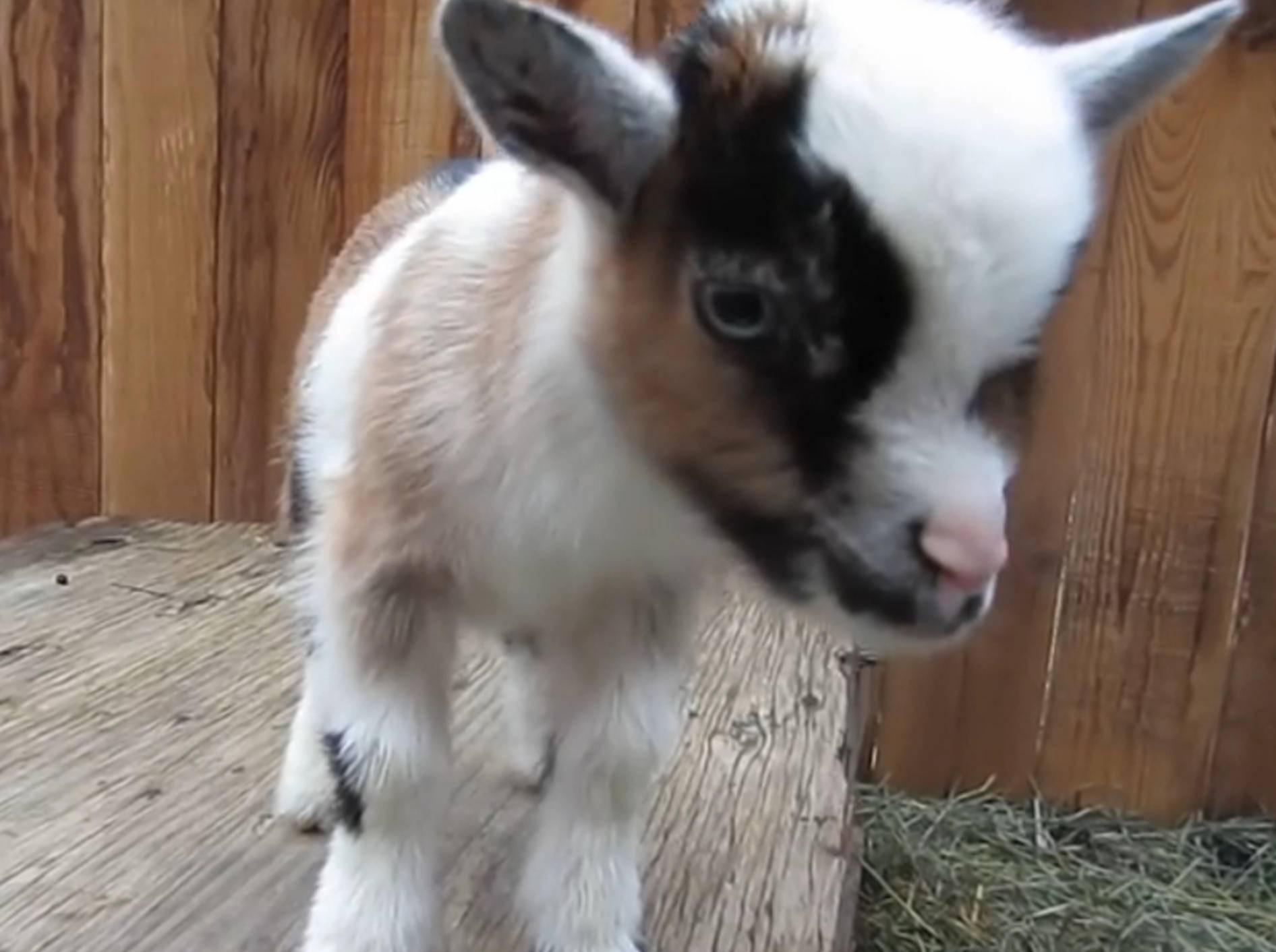 Ziegenbabys außer Rand und Band – Bild: YouTube / First Time Farmers