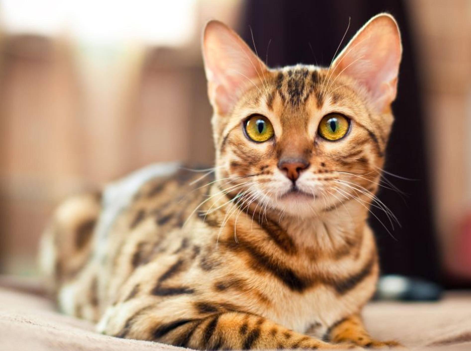 Für welche Gesundheitsrisiken ist die Bengal-Katze anfällig? – Bild: Shutterstock / Shvaygert Ekaterina