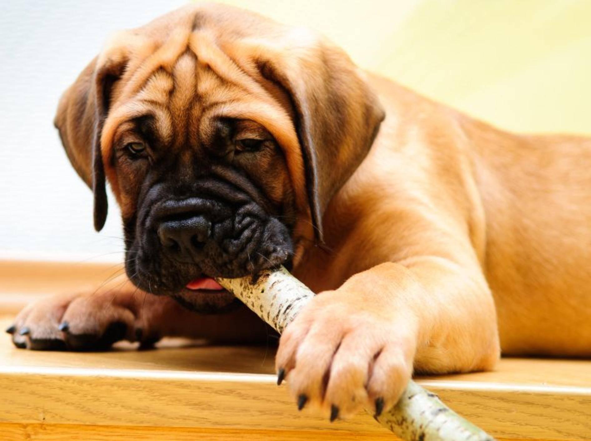 Ein aufmerksamer Beschützer: Der Bullmastiff – Bild: Shutterstock / Inna Astakhova