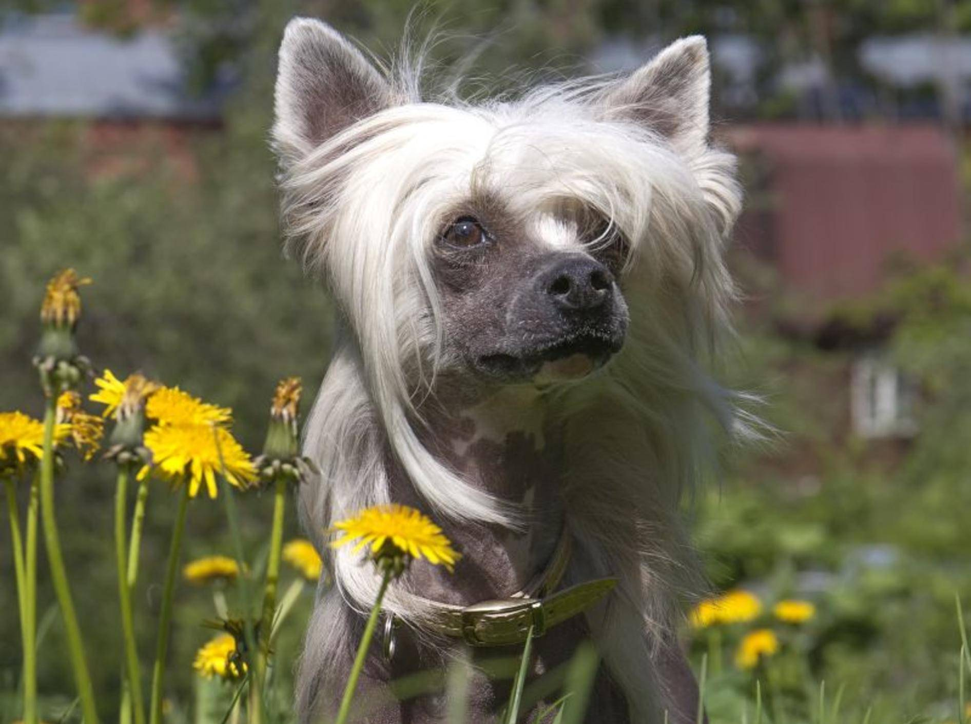 Schicke Frisur, toller Charakter: Wer den Chinesischen Schopfhund kennenlernt, schätzt sei liebenswertes Wesen – Bild: Shutterstock / Vivienstock