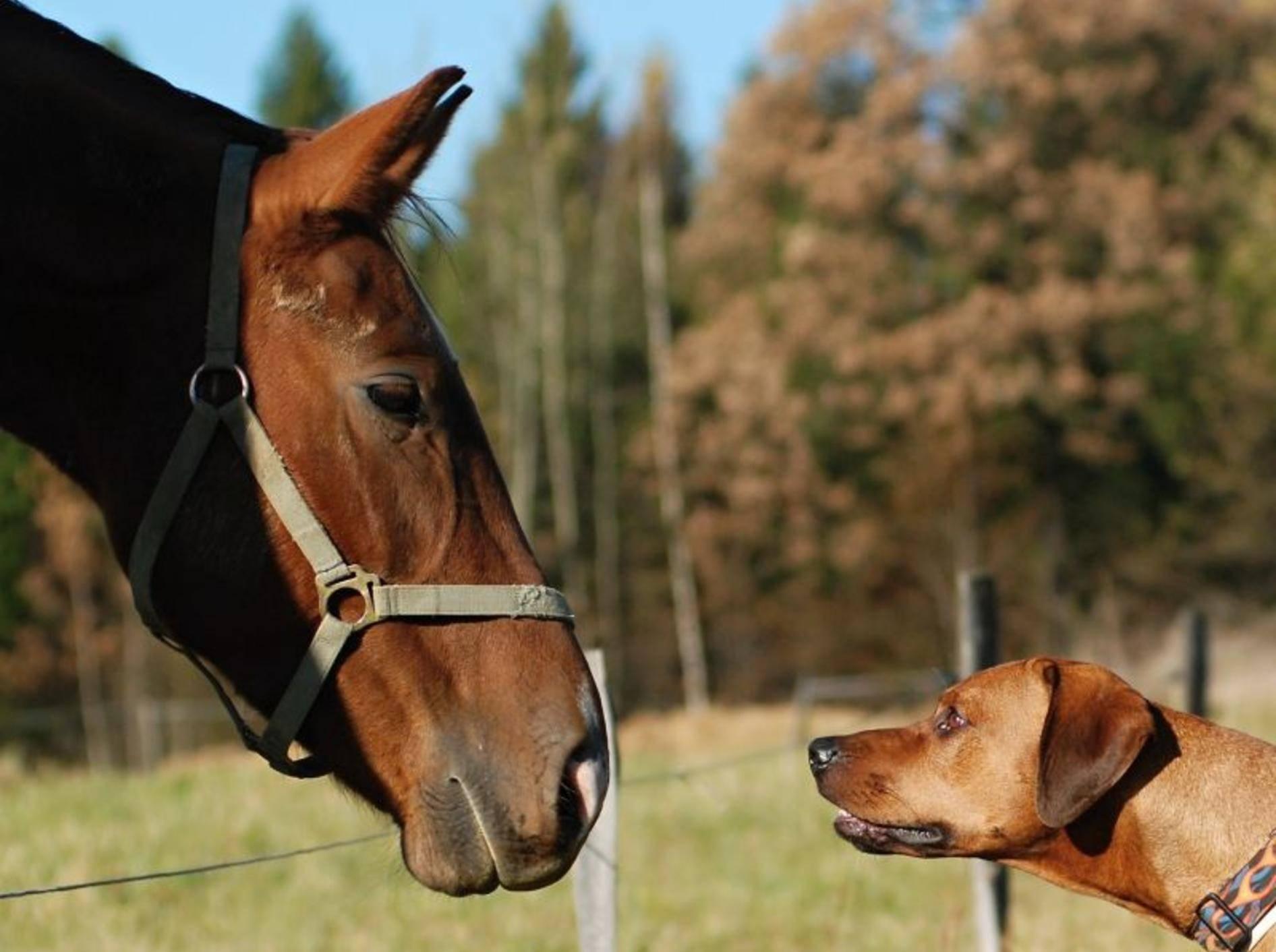 Das erste Treffen zwischen Hund und Pferd ist für beide aufregend – Bild: Shutterstock / Sheeva1