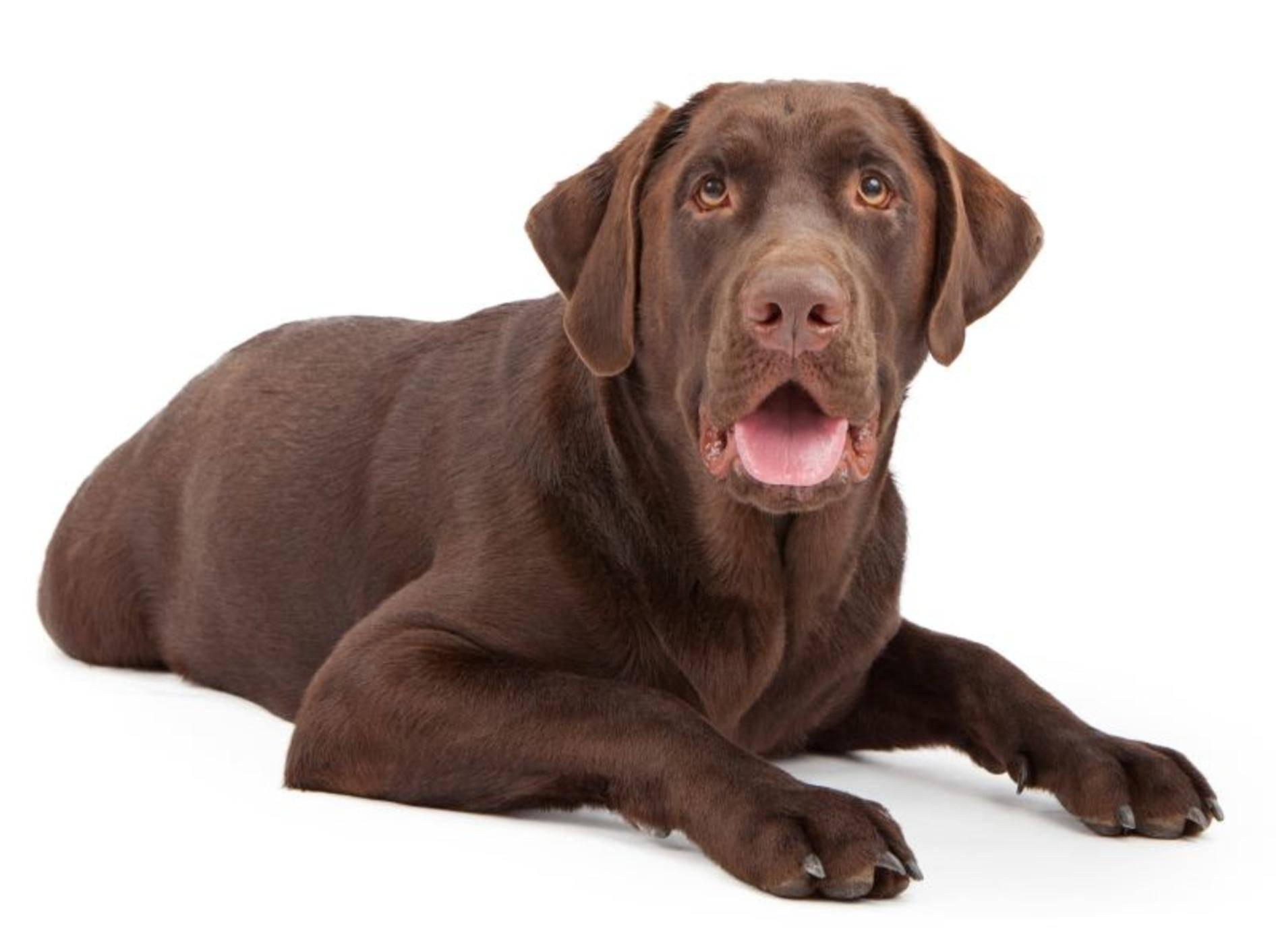 Der Labrador Retriever gehört zu den Rassen, die häufig von ED betroffen sind – Bild: Shutterstock / Susan Schmitz