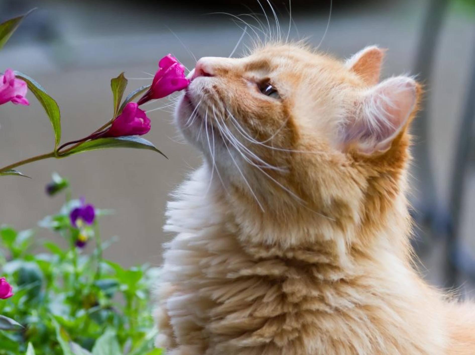 Hatschi! Auch Katzen können empfindlich auf Pollen reagieren – Bild: Shutterstock / Rowdy Soetisna