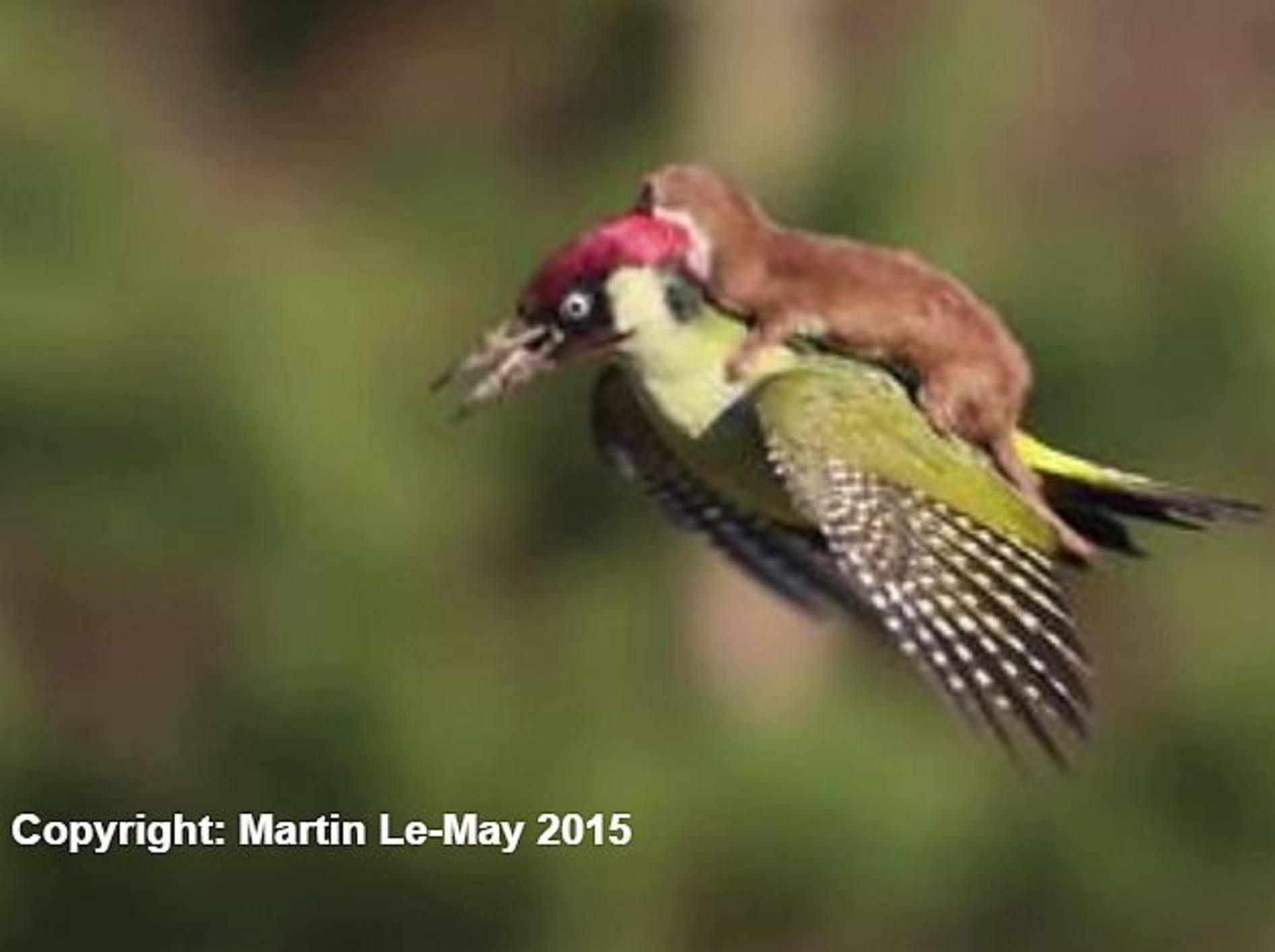 Faszinierende Naturaufnahme: Wiesel reitet Specht – Bild: Youtube / BBC News