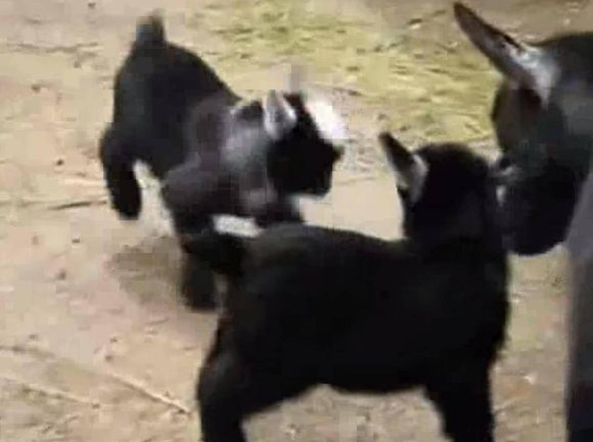 Gut gelaunte Zicklein: Spielen ist klasse! – Bild: Youtube / Snoopy Land