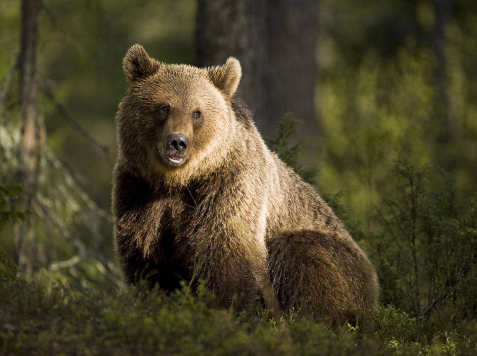 Der Braunbär hat ein dunkelbraunes Fell, das viele Farbschattierungen haben kann – Bild: Shutterstock / BMJ