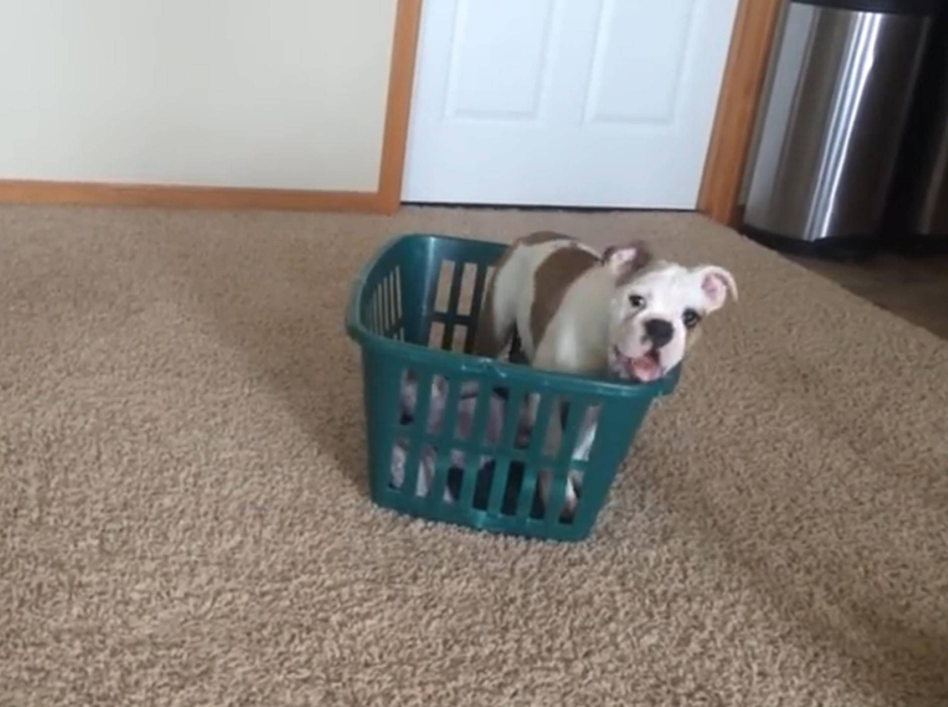 Bulldoggen-Welpe erobert Wäschekorb – Bild: YouTube / Hazel The Bulldog