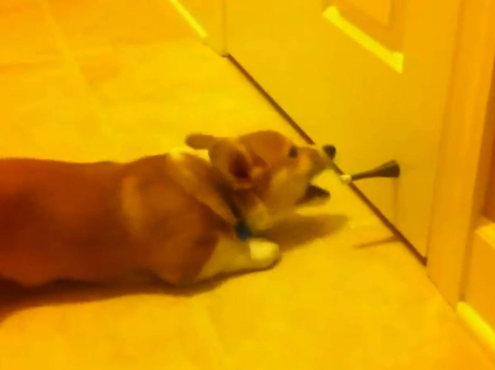 Corgi legt sich mit Türstopper an – Bild: YouTube / metarlogic