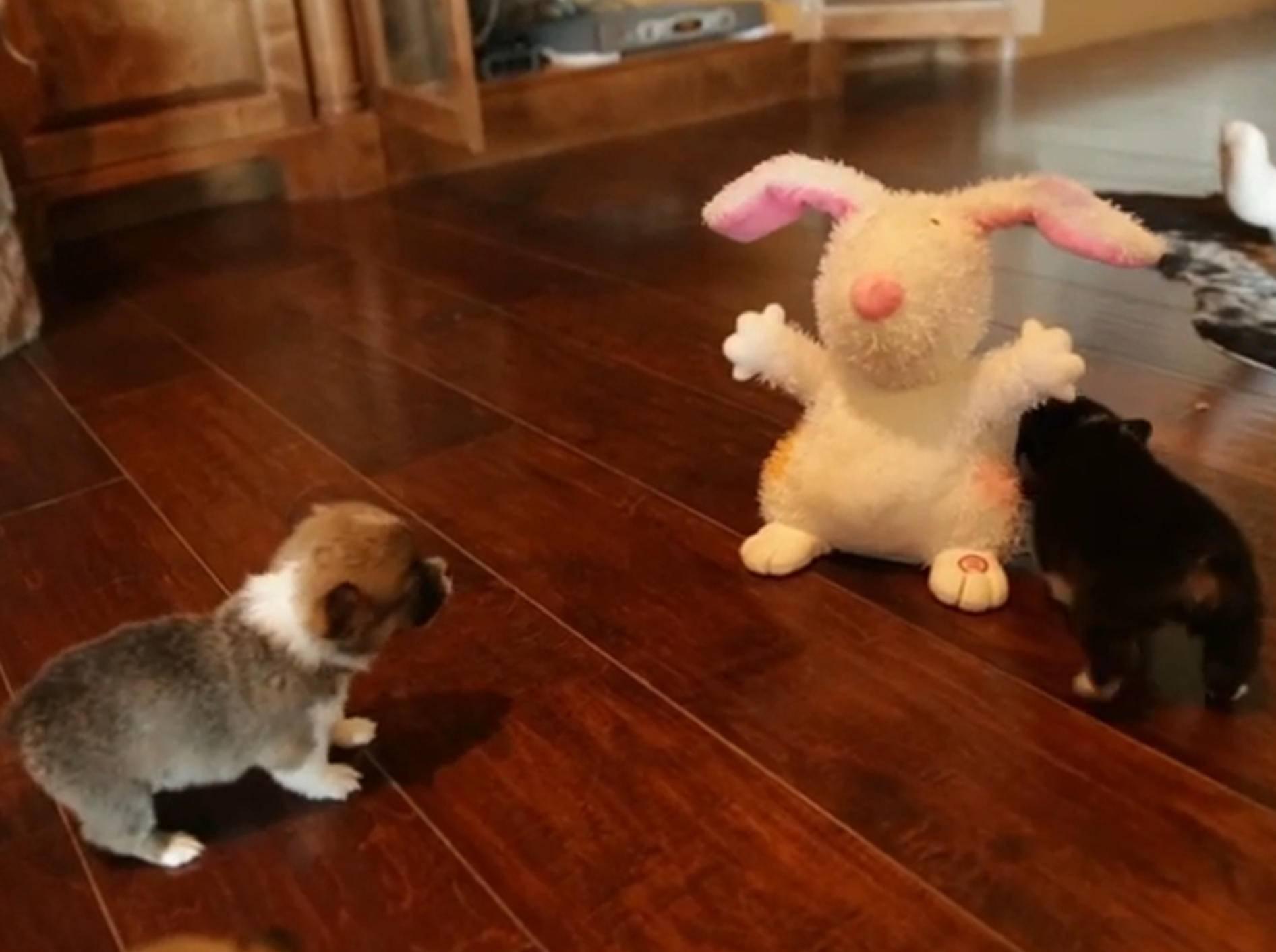 Corgi-Welpen vs. Plüschhase – Bild: YouTube / The Pet Collective