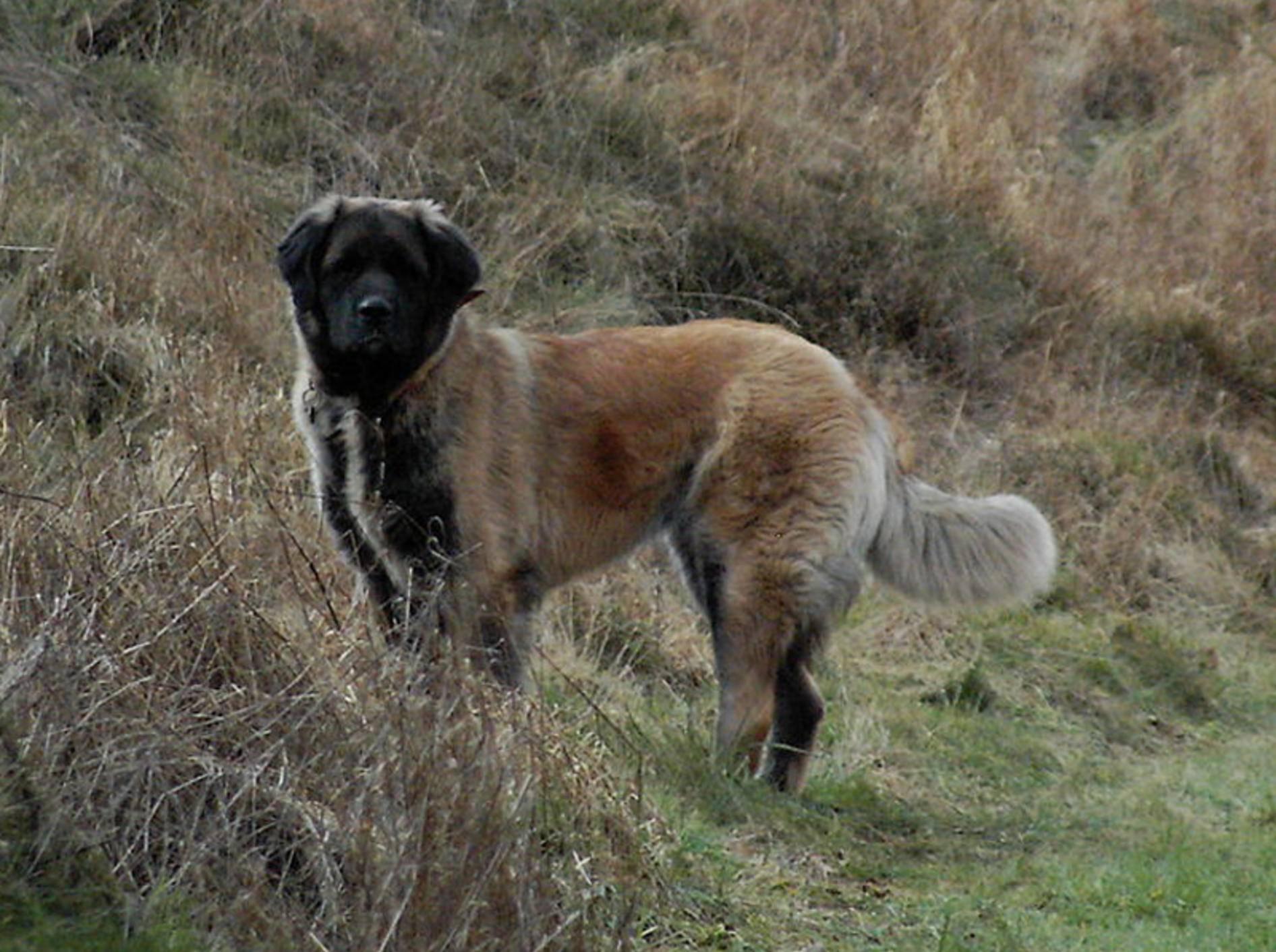 Ein Germanischer Bärenhund fühlt sich am wohlsten, wenn er sich austoben kann – cc/Wikimedia/Bruceleespor