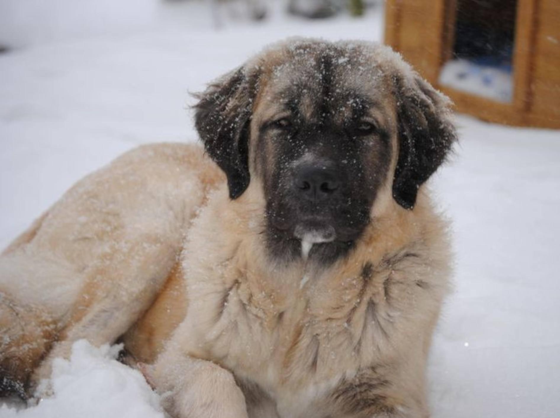 Germanischer Bärehund: Ein sanfter Riese – Bild: cc/Wikimedia/Bruceleespor