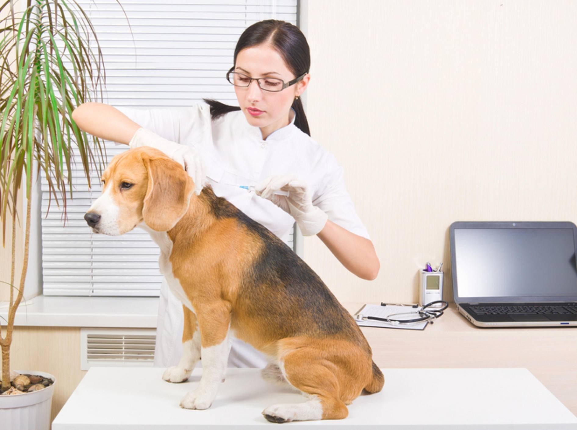 Das Einsetzen eines Mikrochips vertragen Hunde üblicherweise sehr gut – Bild: Shutterstock / Sonsedska Yuliia