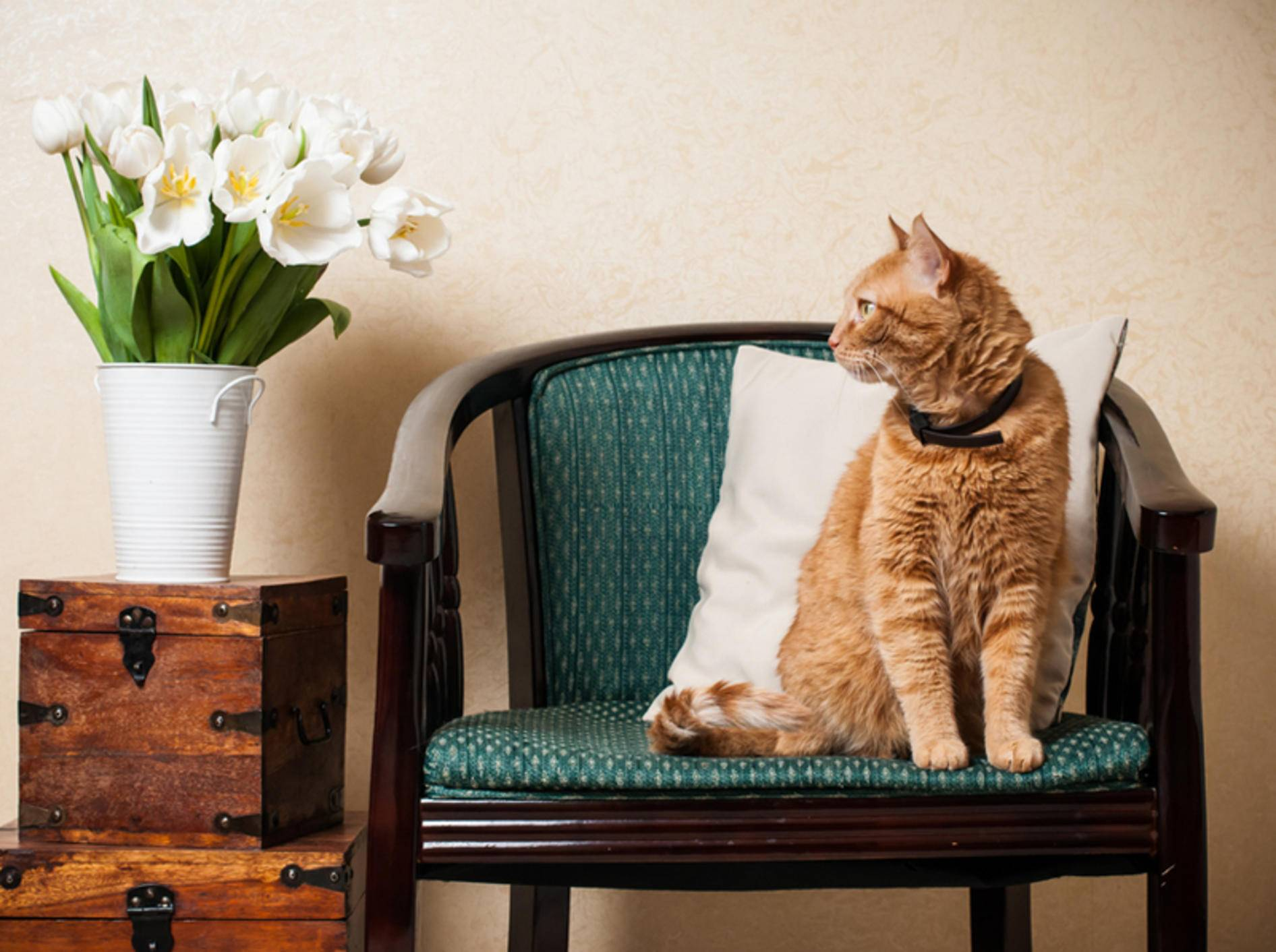 Auch im Wohnzimmer lauern zahlreiche Gefahrenquellen auf die Katze – Bild: Shutterstock / Daria-Minaieva